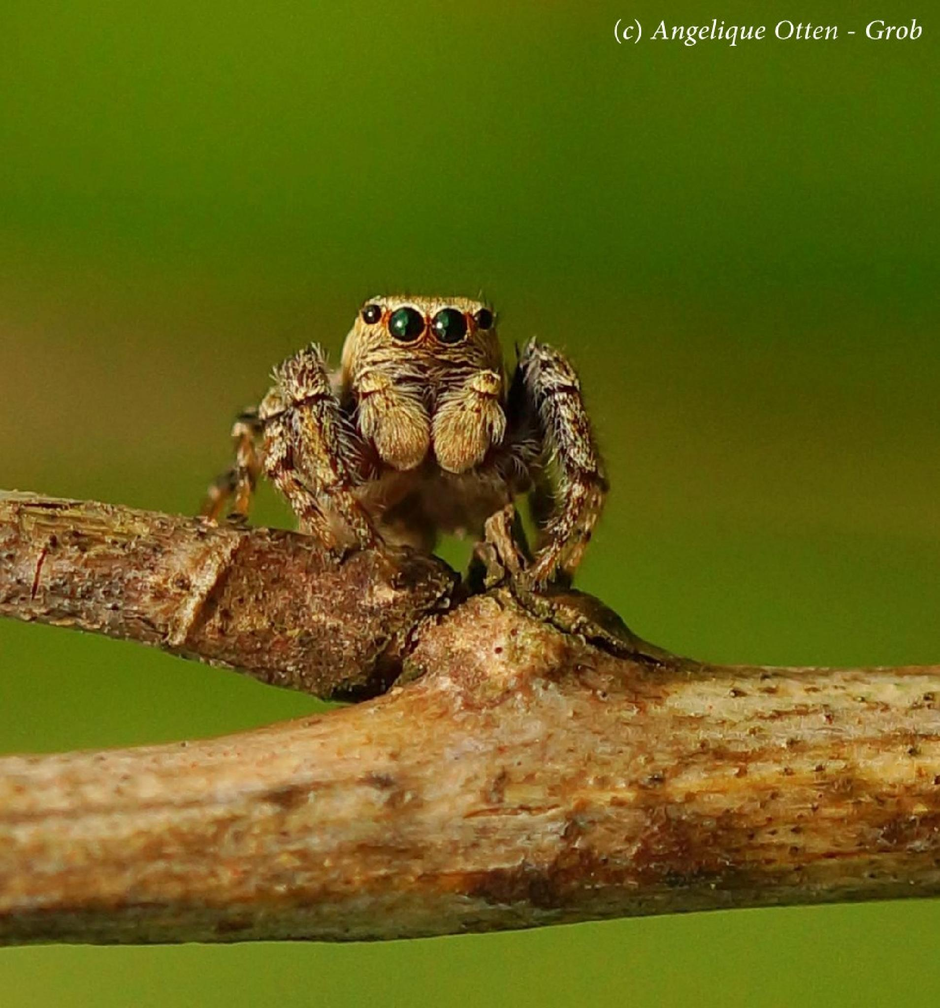 Hello little one... Jumping spider by Angelique Otten - Grob