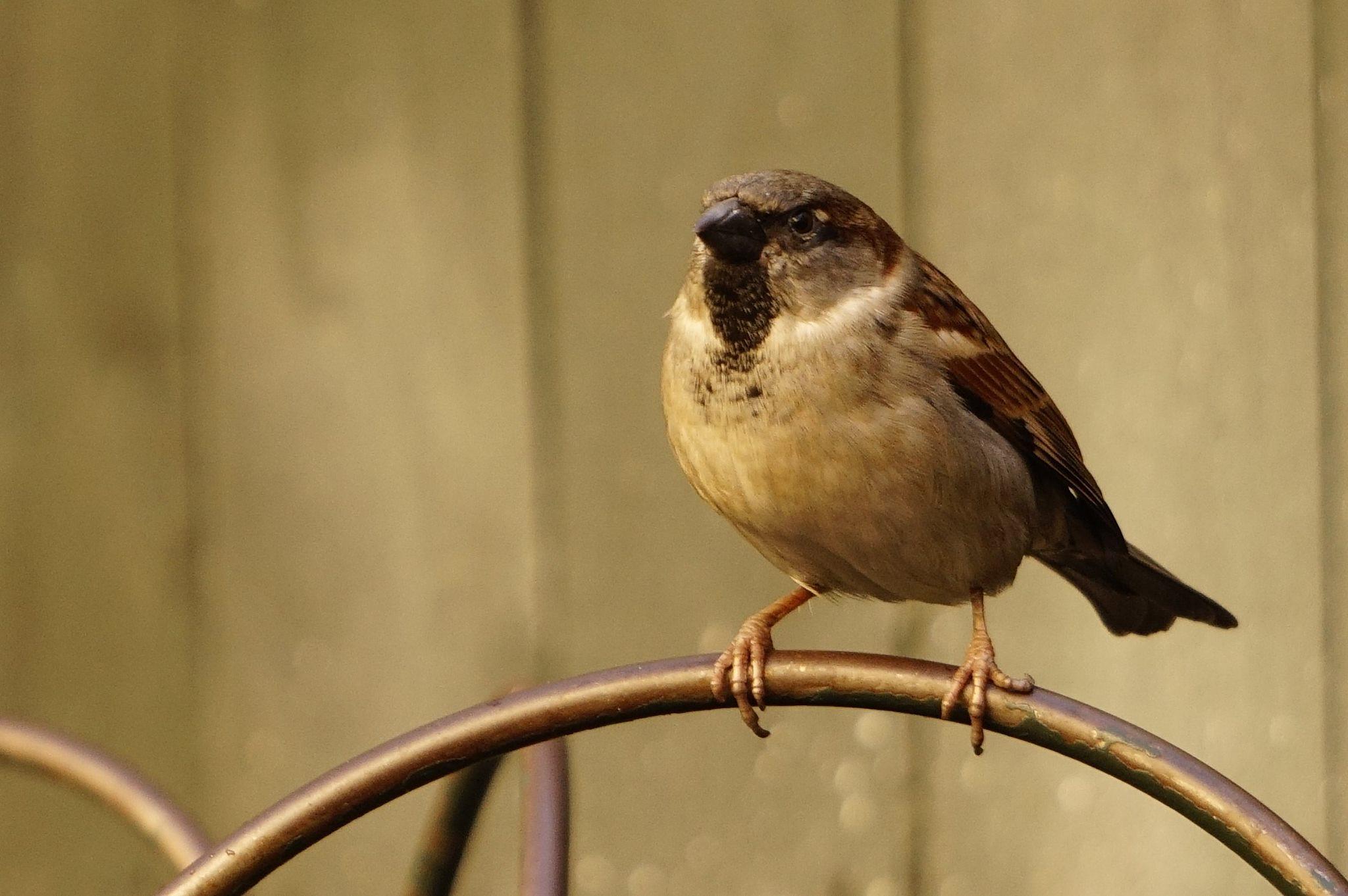 Sparrow by donBeto