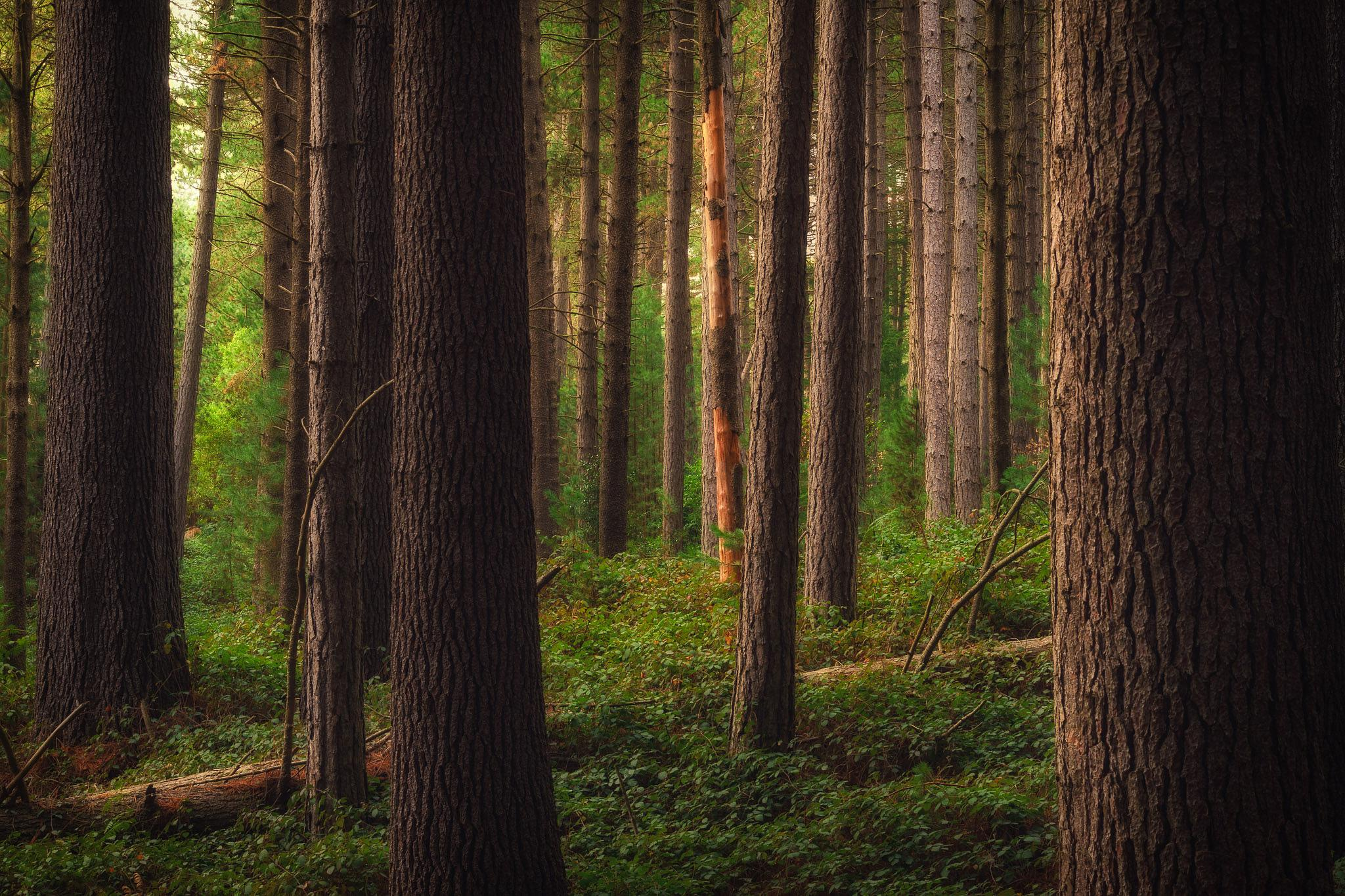 Sugar Pine Forest - Laurel Hill by Erich Anderson