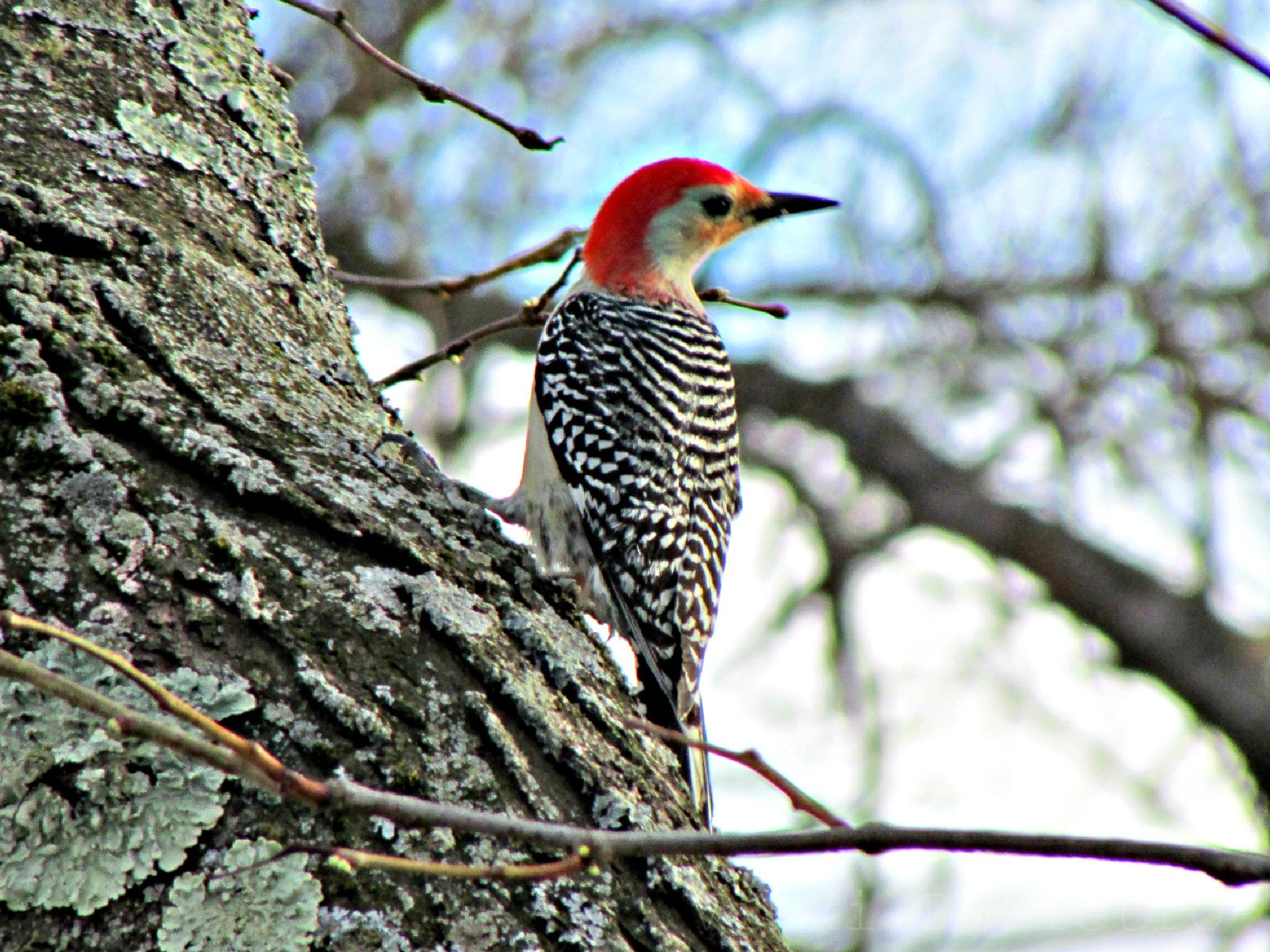 Photo in Animal #red bellied woodpecker #woodpecker #bird #animal #red #upstate ny