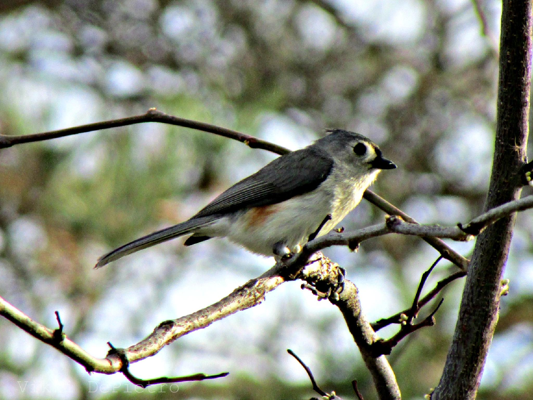 Tufted Titmouse by Vikki Schifano