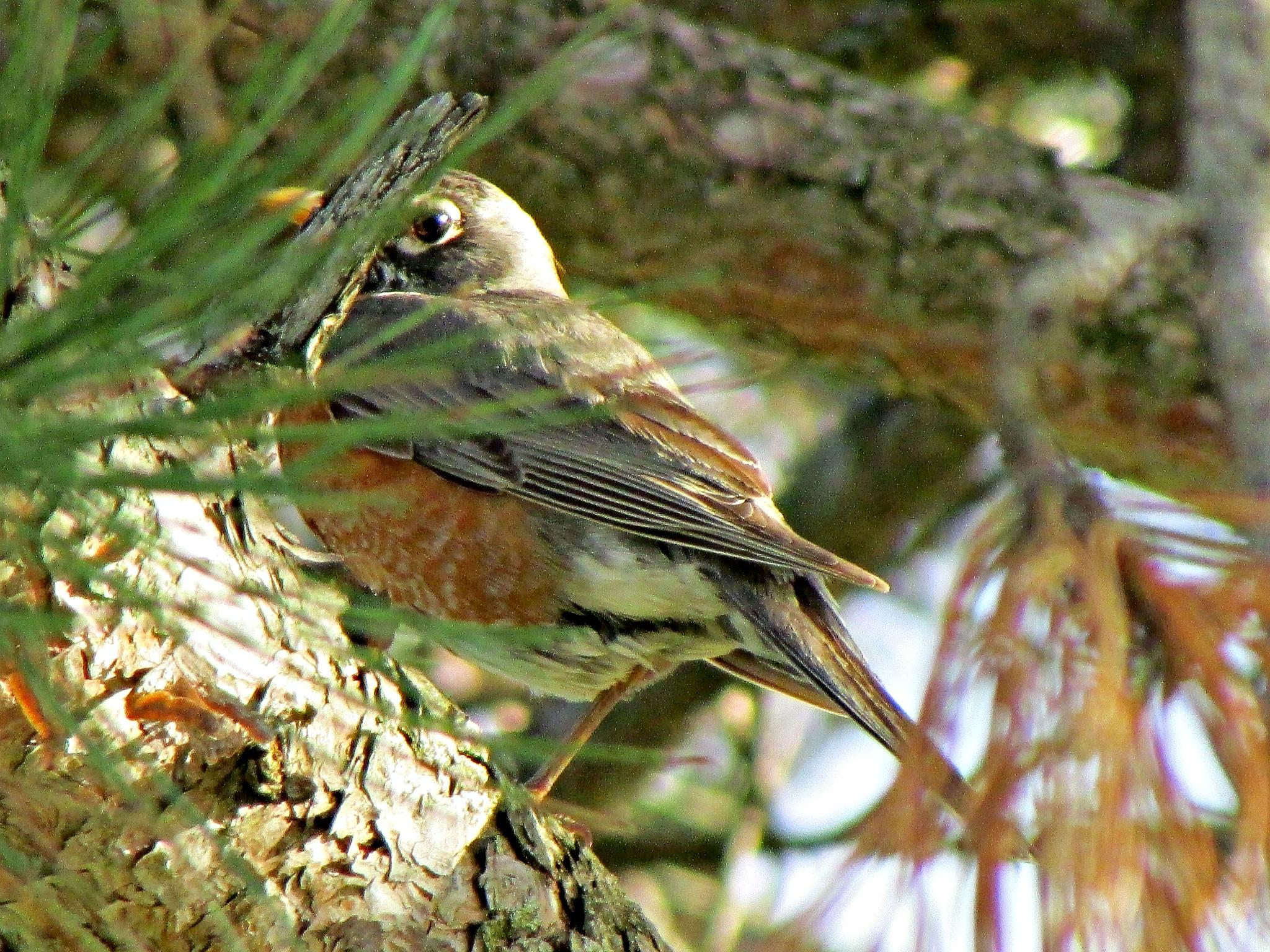 Photo in Animal #robin #bird #animal #nature #upstate ny