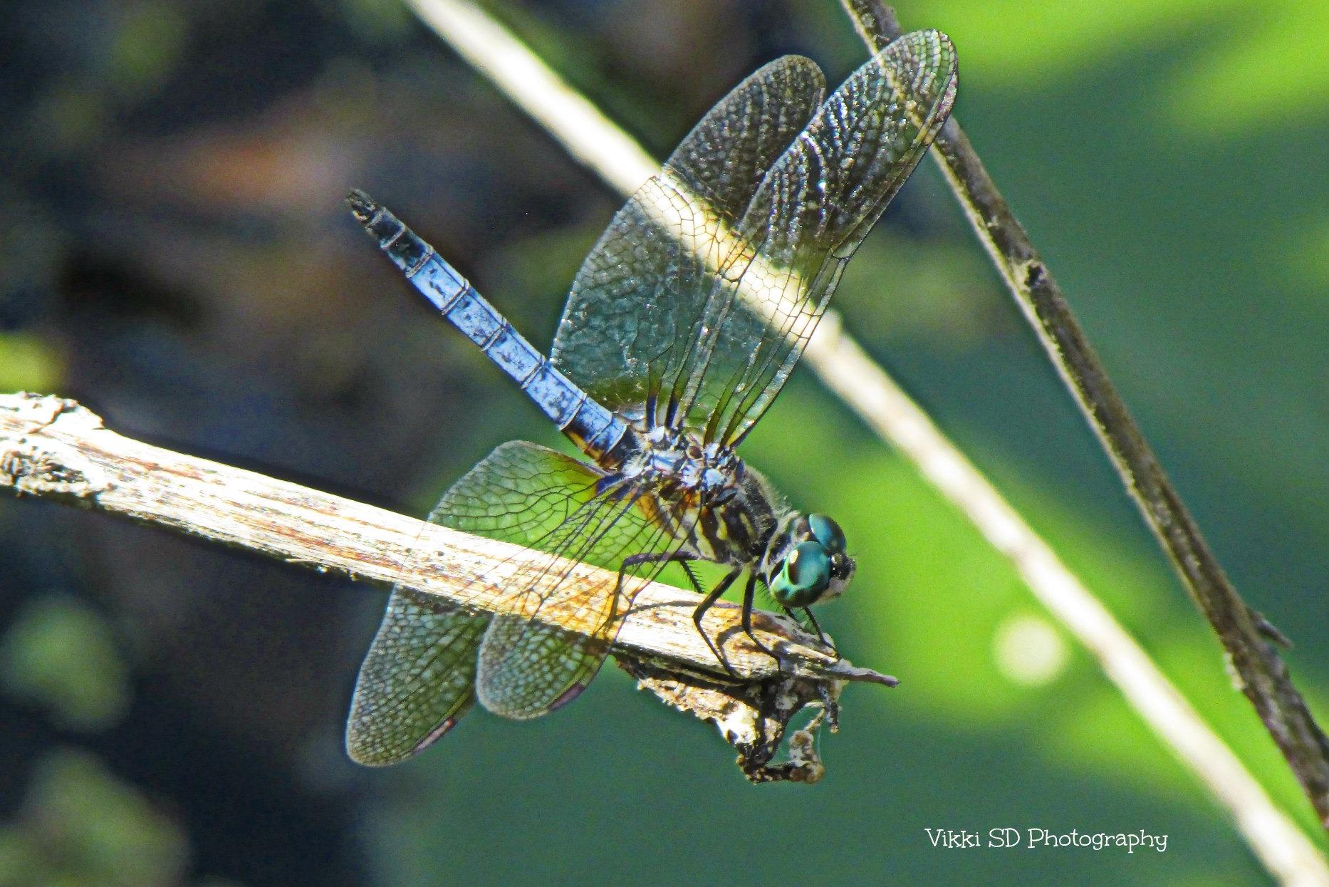 Dragonfly                            by Vikki Schifano