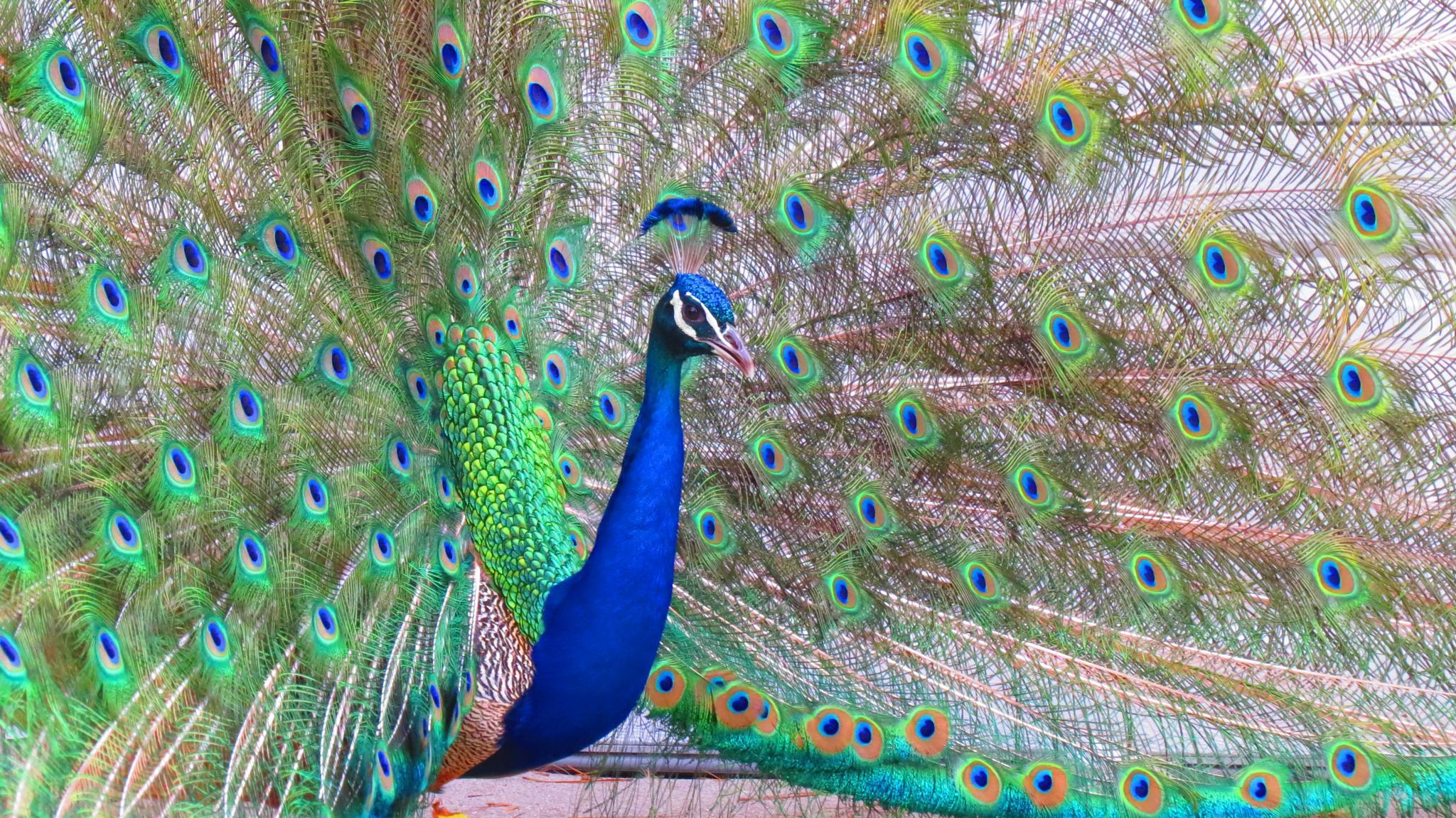 pretty peacock by Teri Stout
