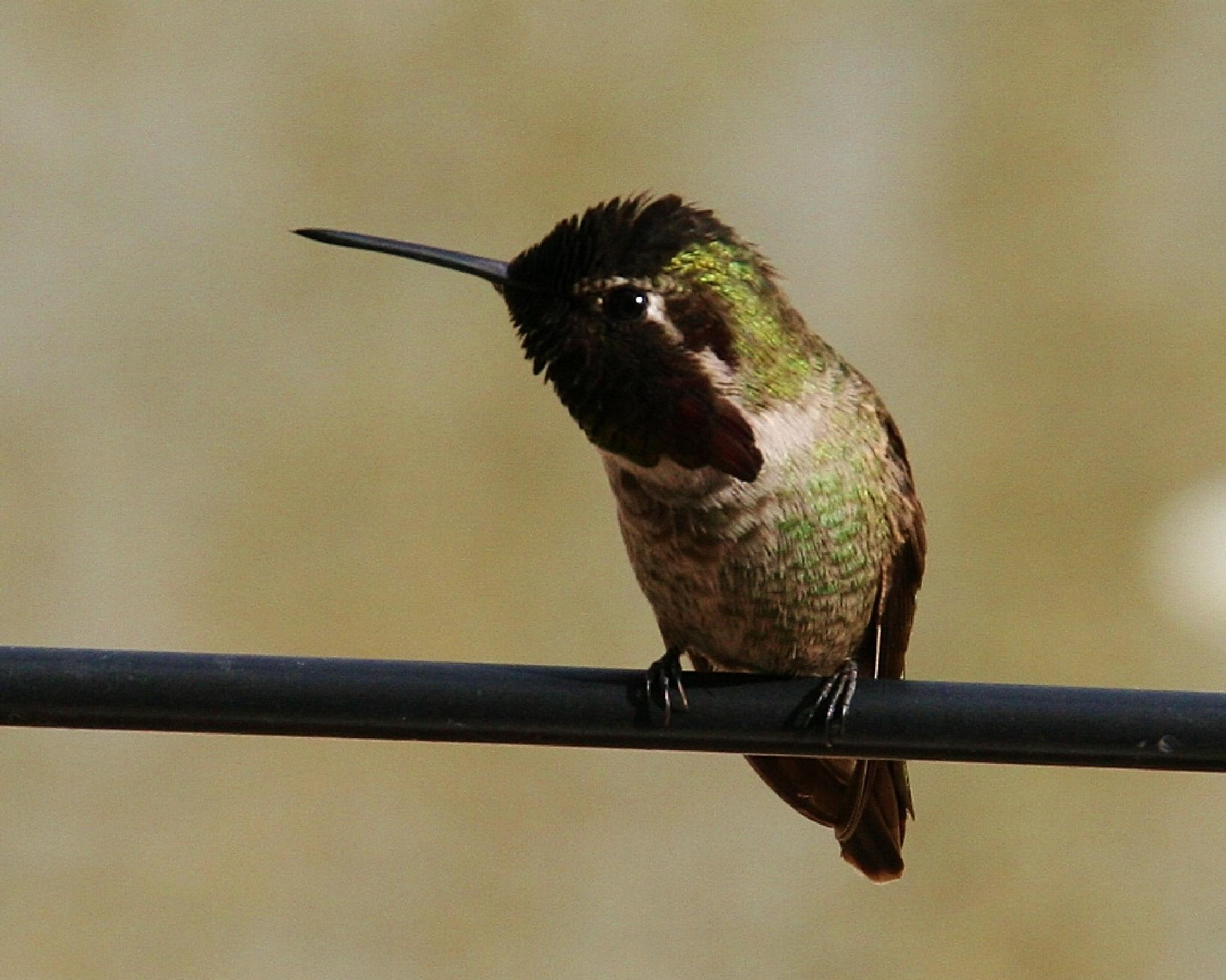 Fluffy Hummingbird by kathy.larsen