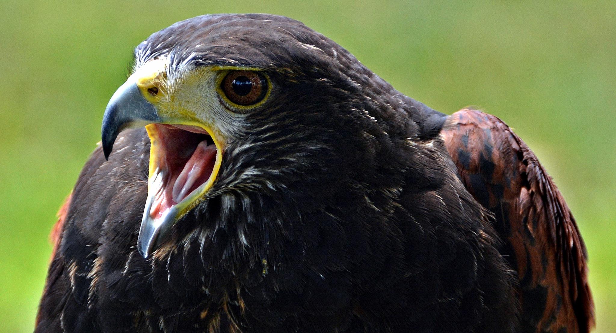 Hawk again by Fred Matos