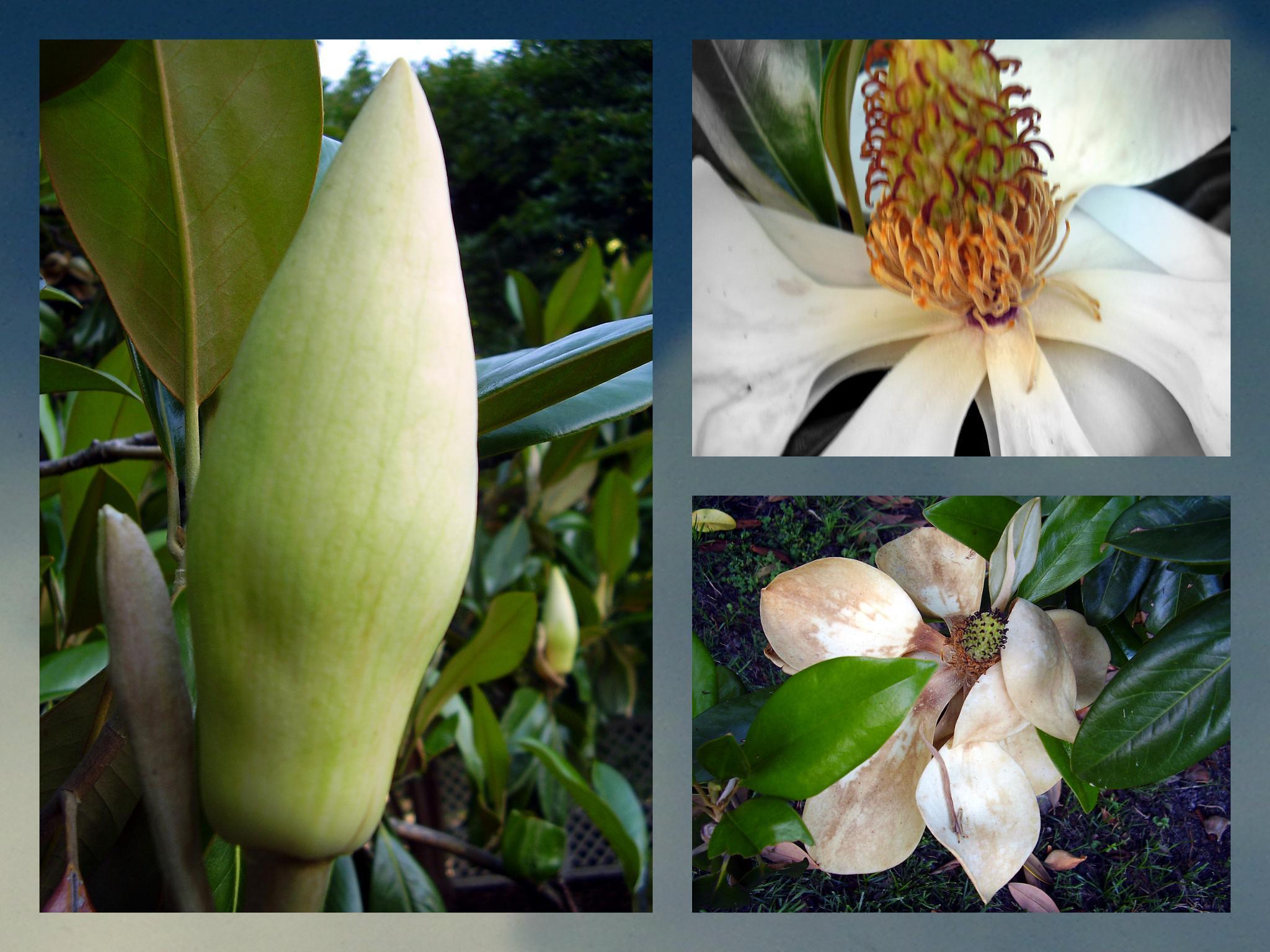 Magnolia. Collage by lana.cezzar