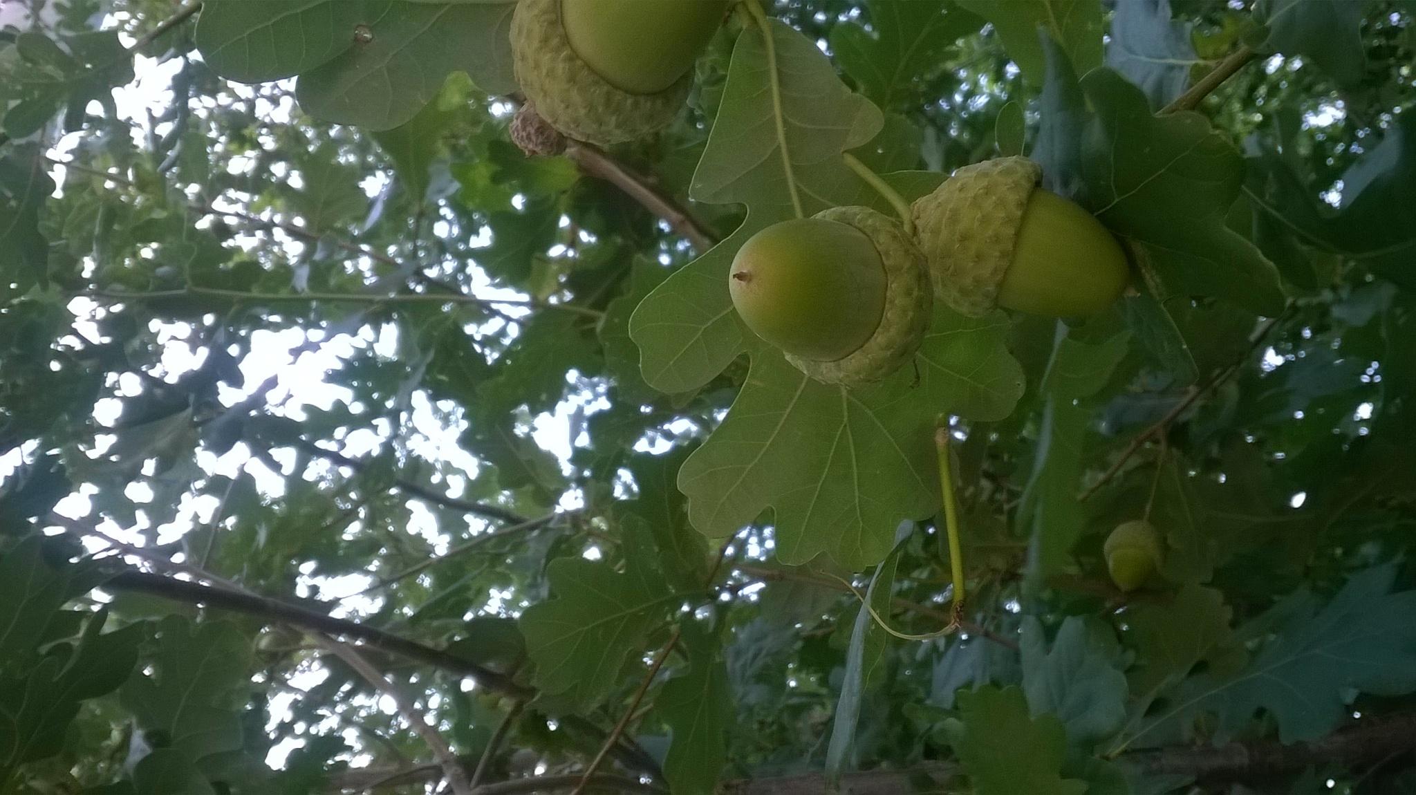 acorn by Saygın Saner