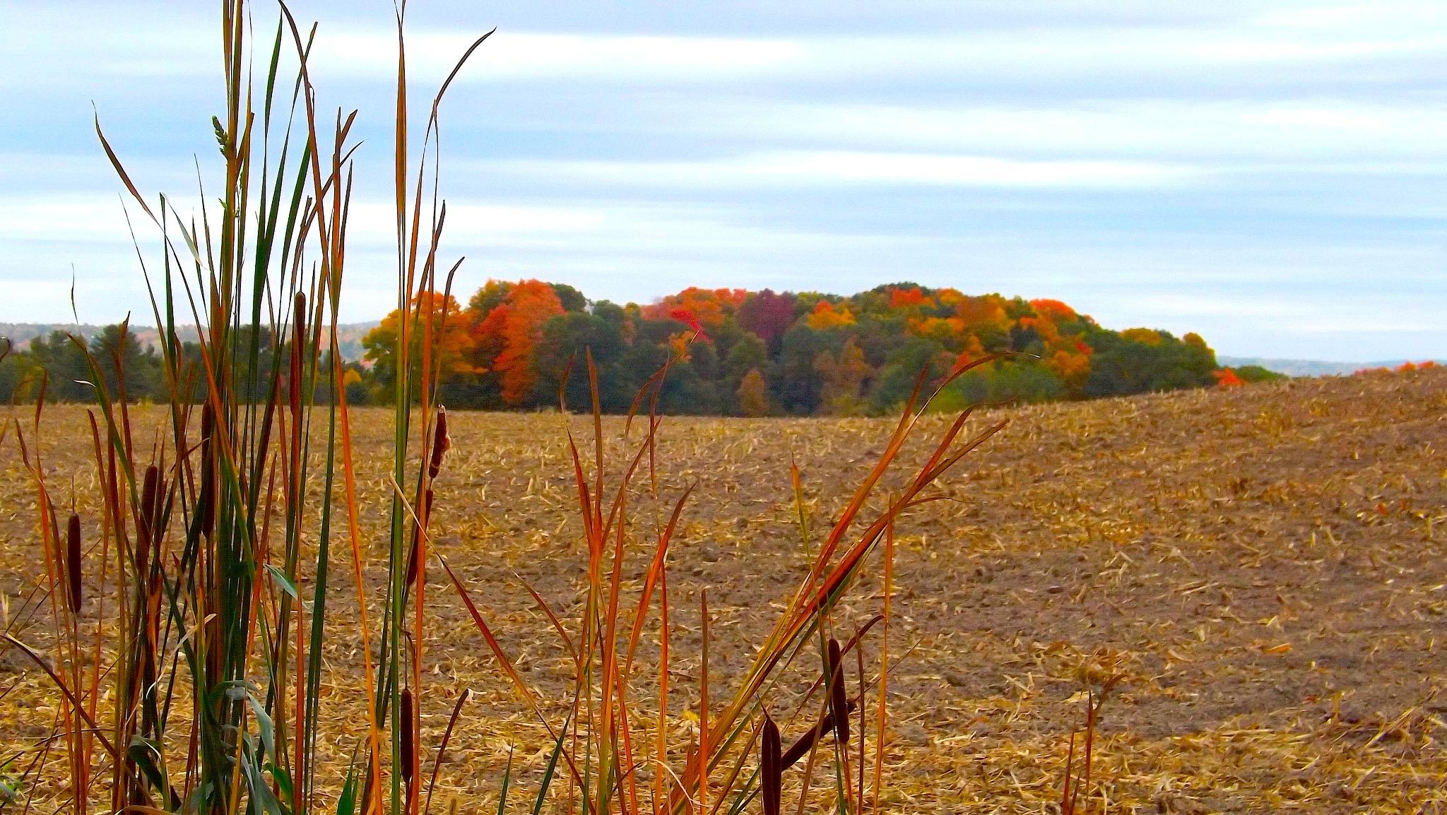 Foliage Across the Cut Cornfield by ccbarron1