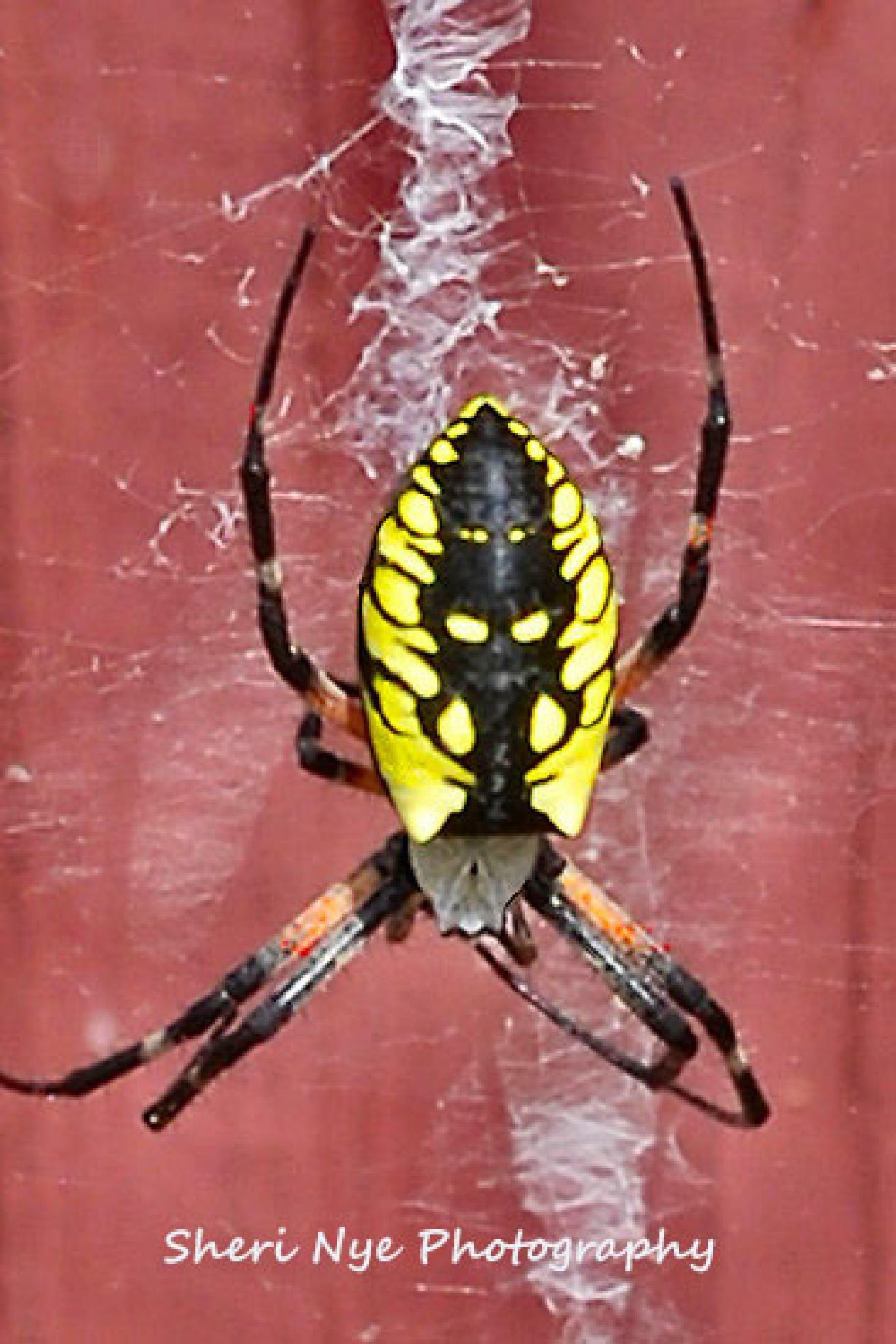 Garden Spider by sheri.nye