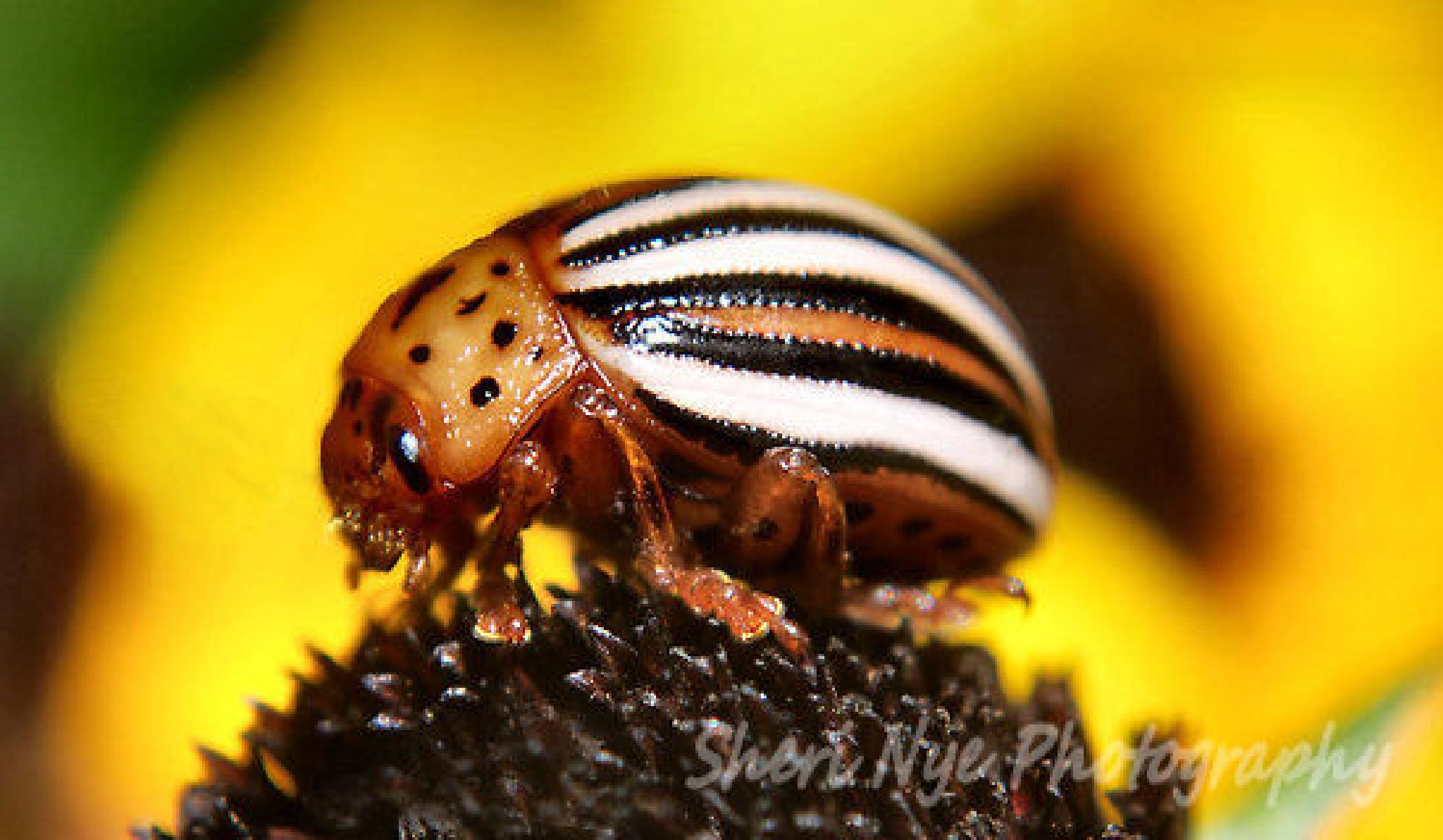 Potato Beetle by sheri.nye