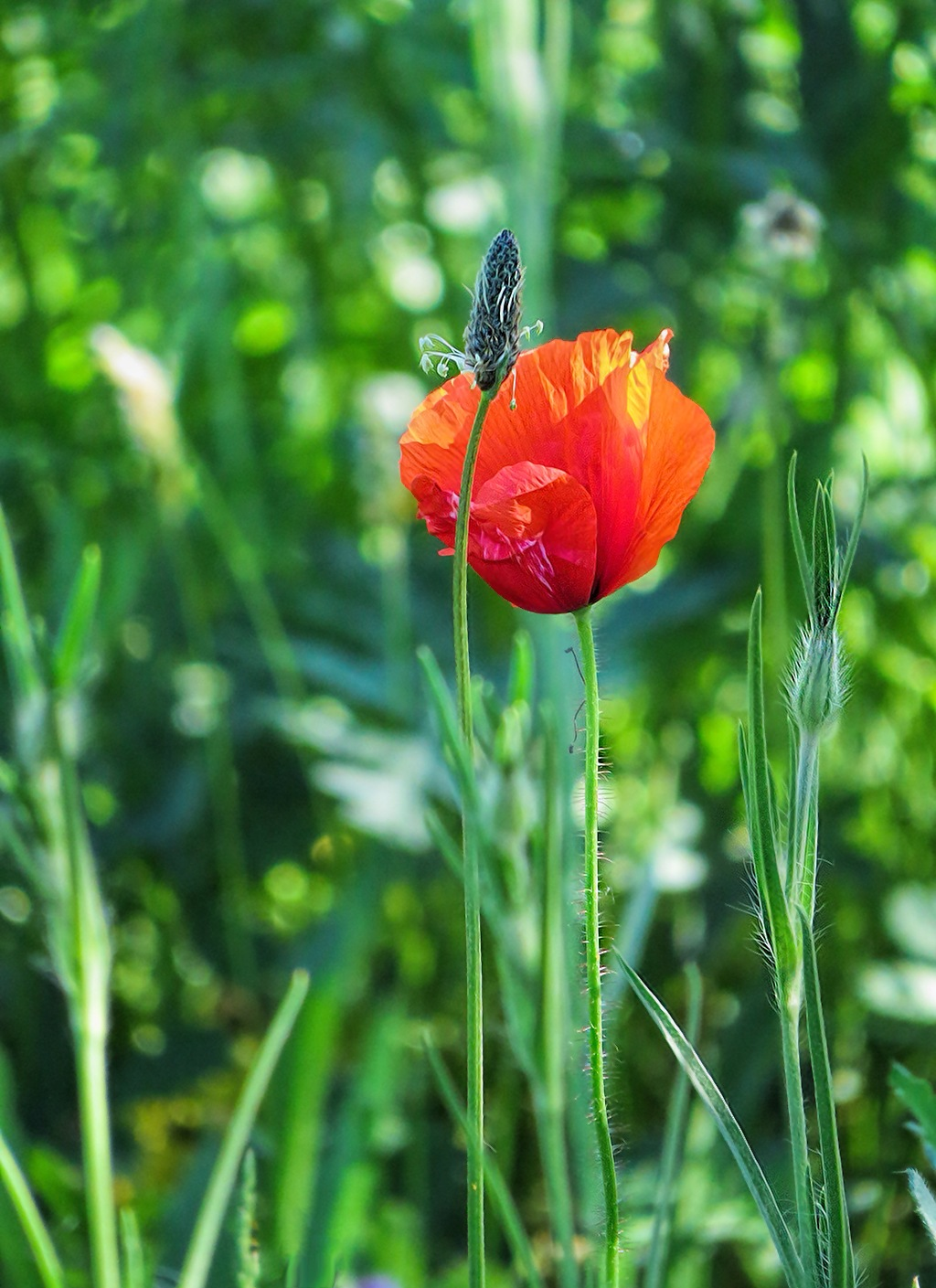 Poppy by susanne.m.andersson.92