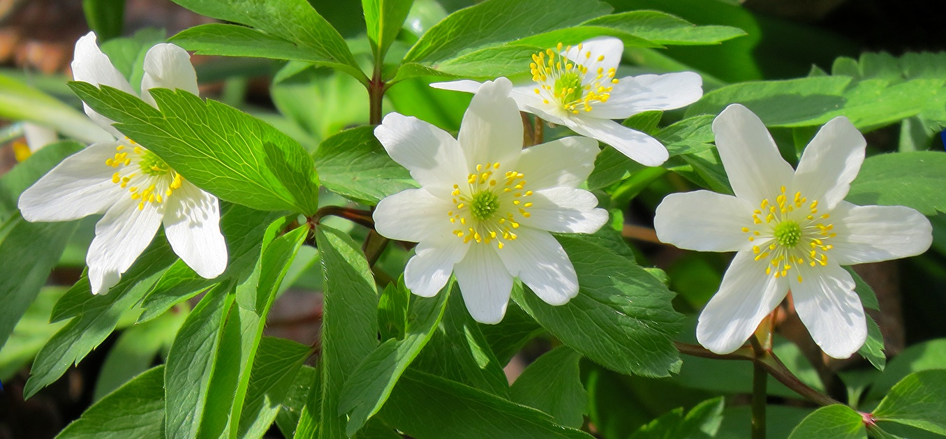White Anemone by susanne.m.andersson.92