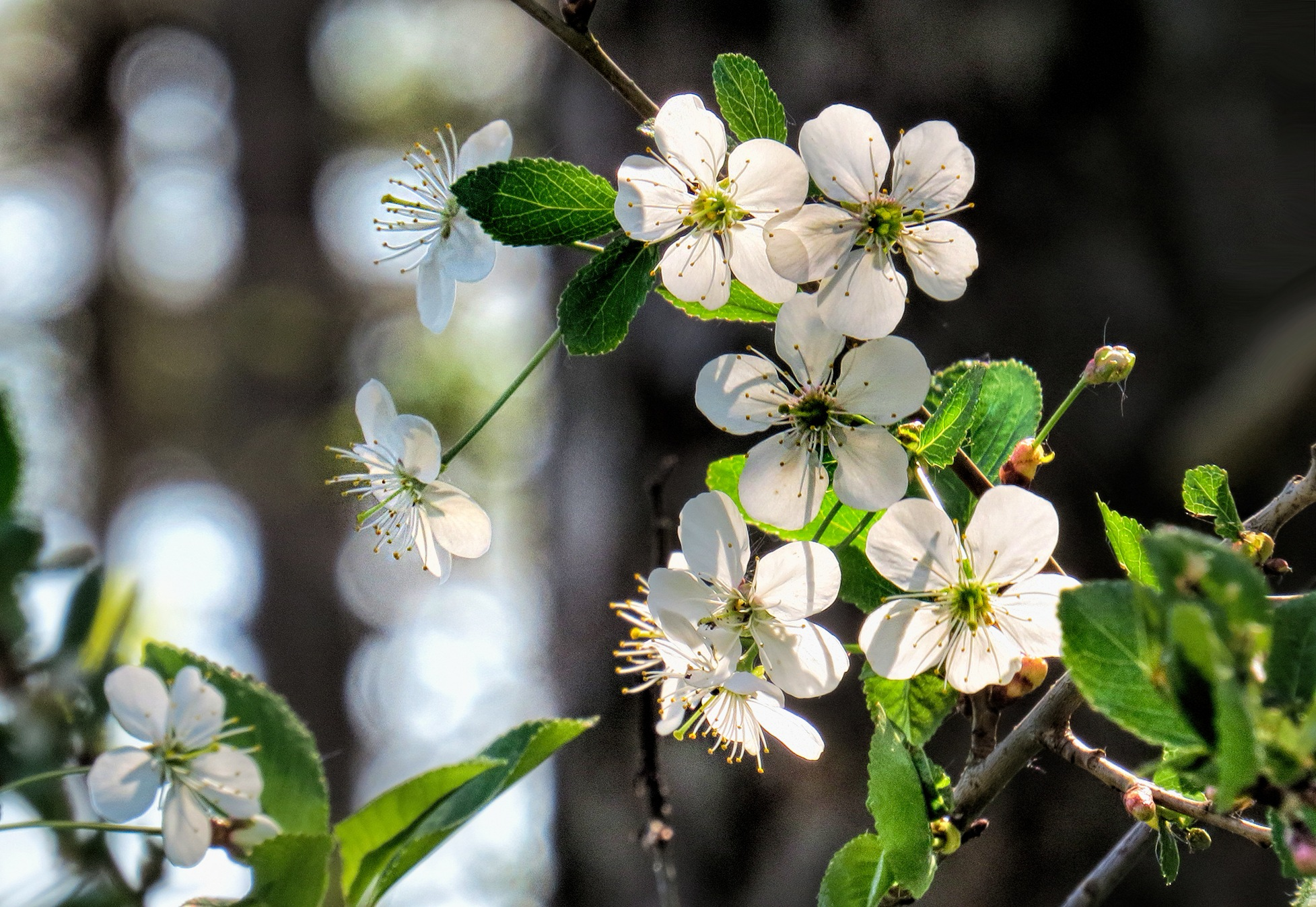 Bird-cherry Tree by susanne.m.andersson.92
