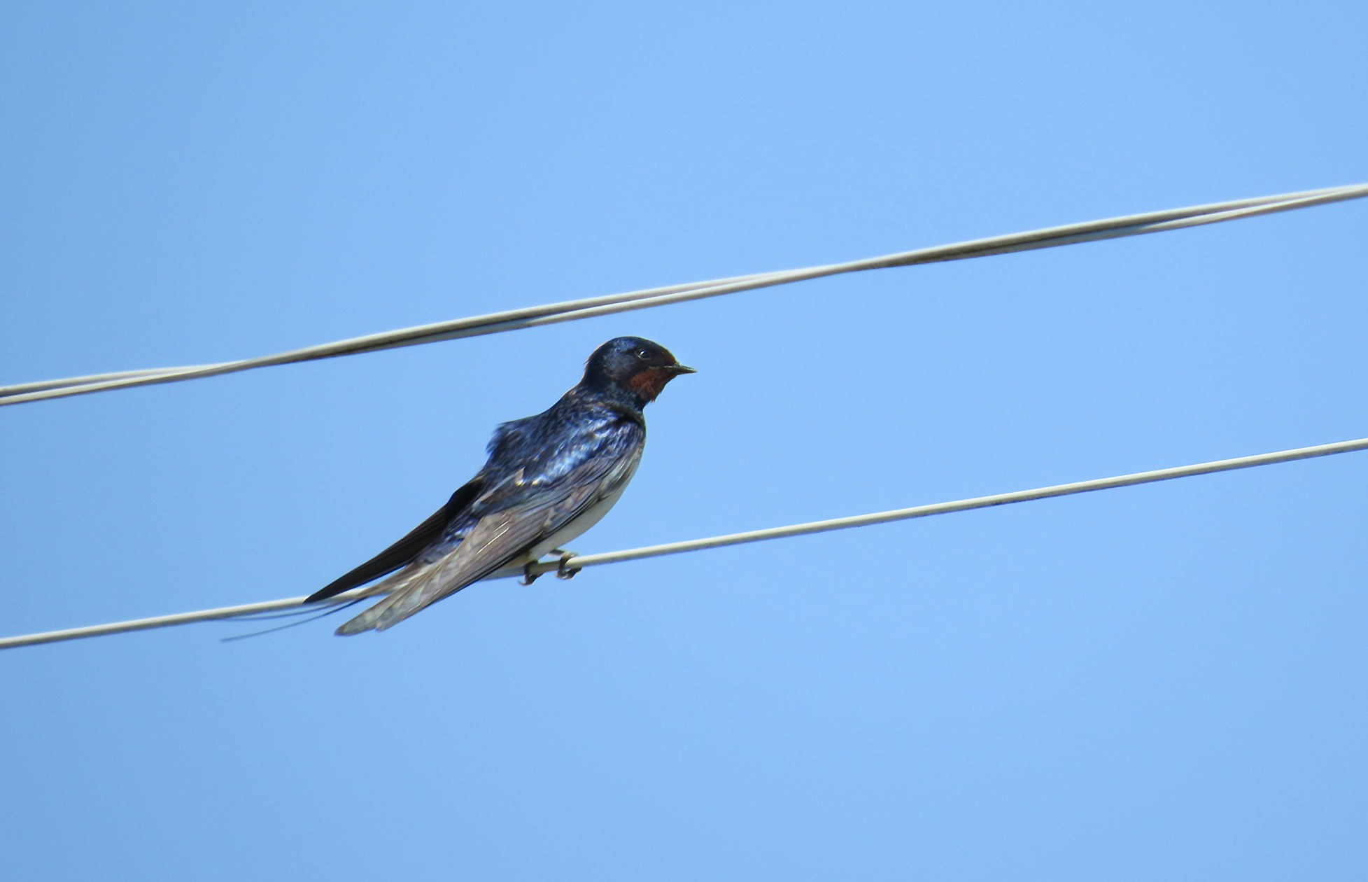 Swallow by susanne.m.andersson.92