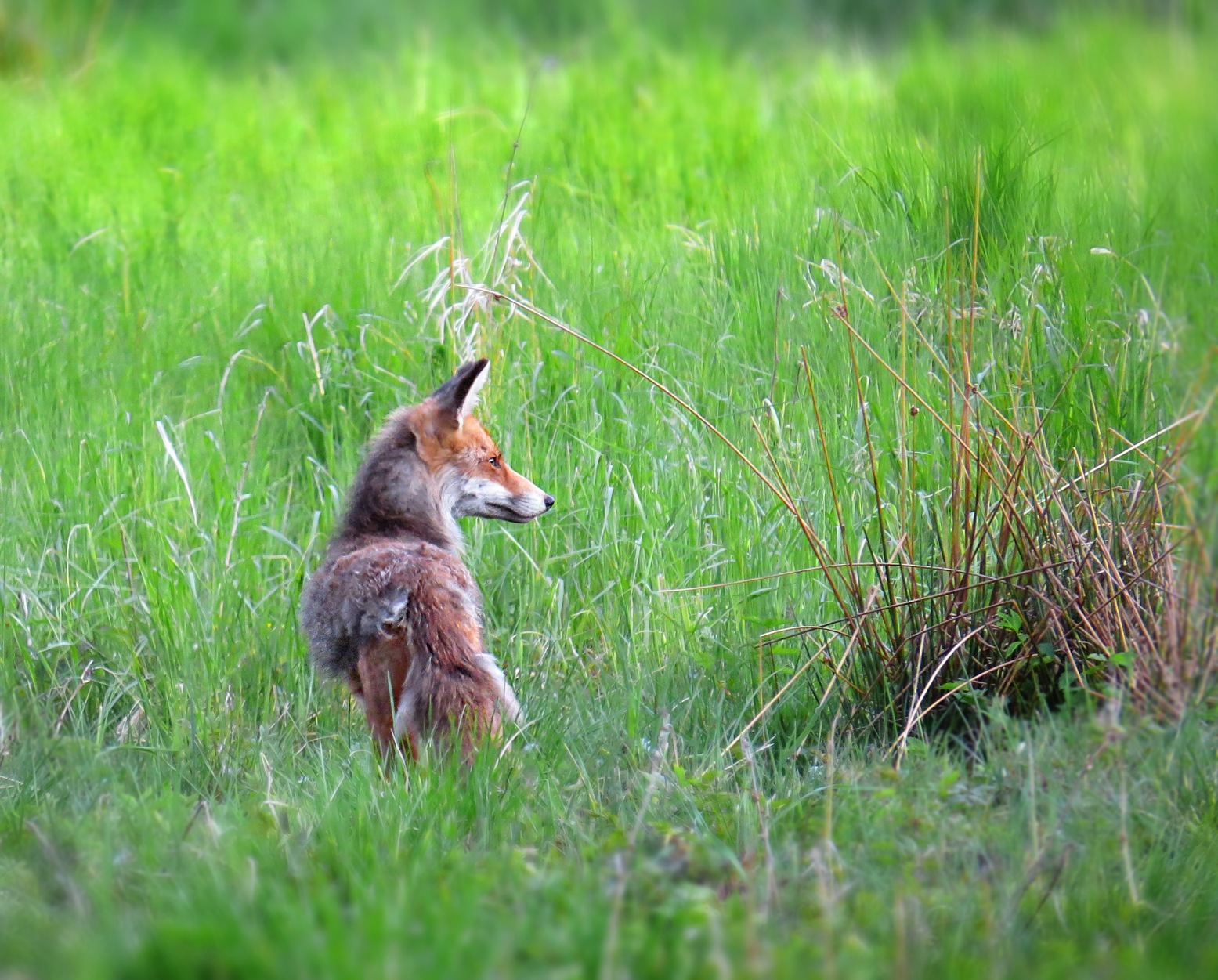 Wild Nordic Red Fox. by susanne.m.andersson.92