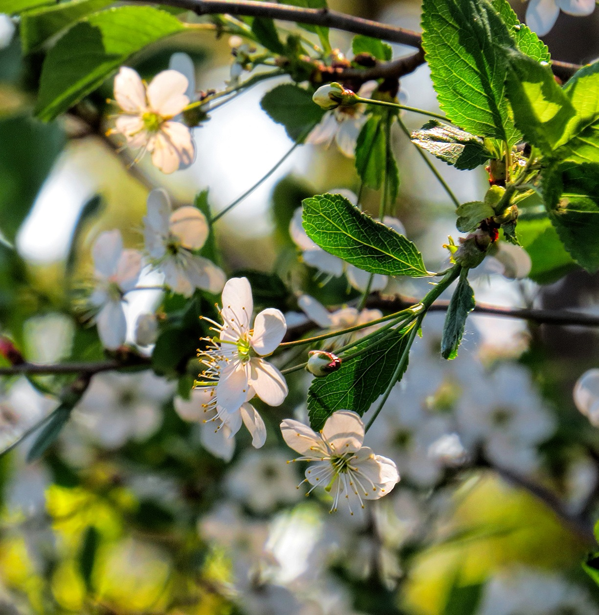 Bird-cherry Tree by susanne.m.andersson.92