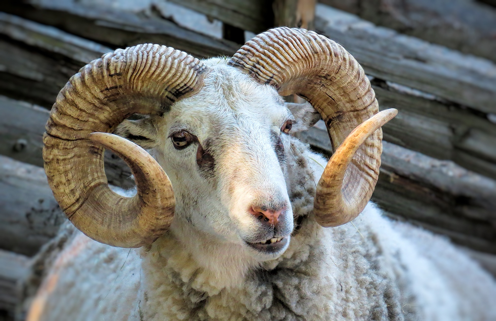 Gotland Sheep by susanne.m.andersson.92