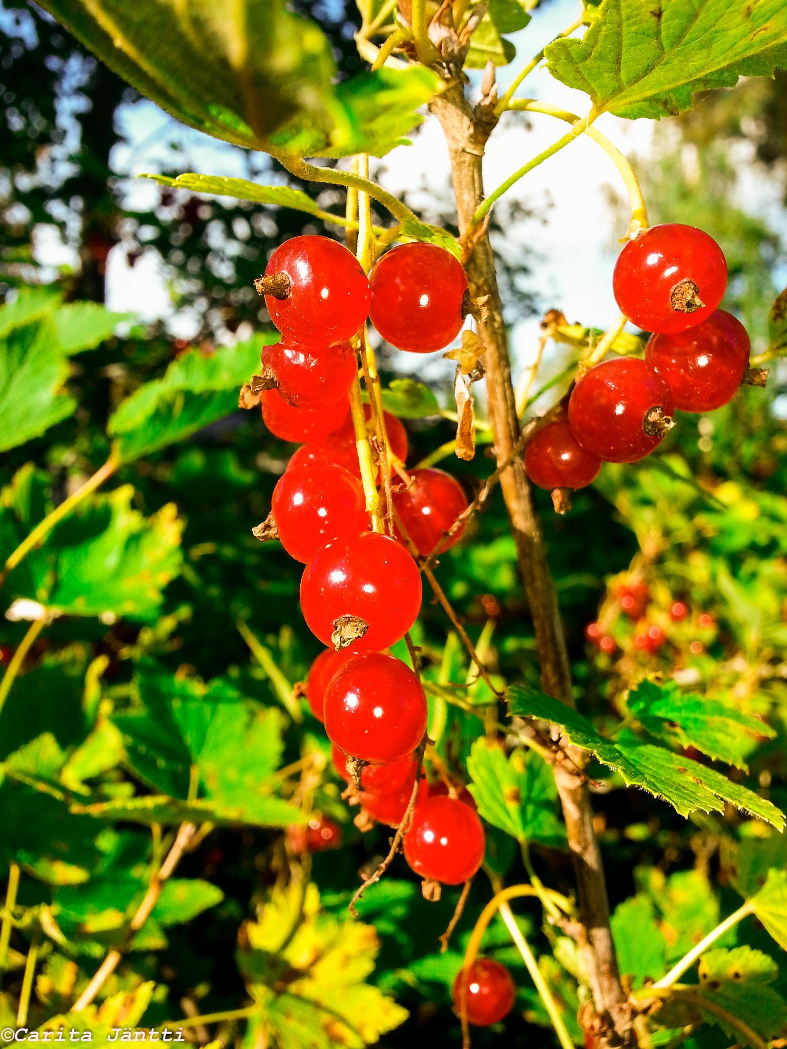 Berries by Carita Jäntti