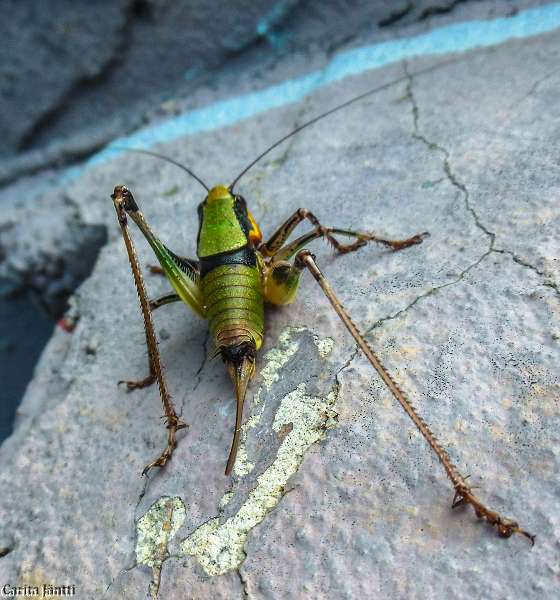 Grasshopper by Carita Jäntti