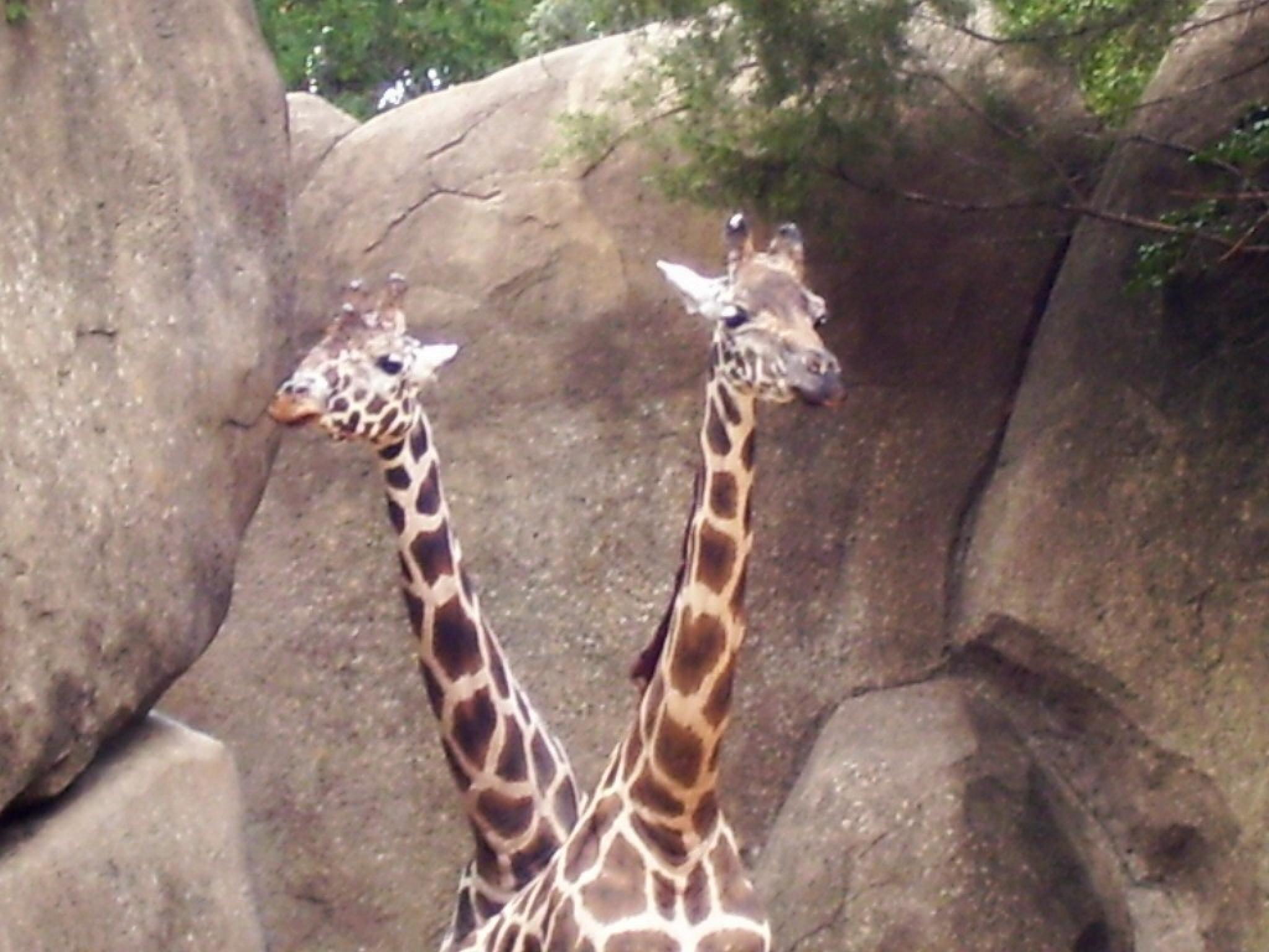 the famous two-headed giraffe  by bernice.desmond