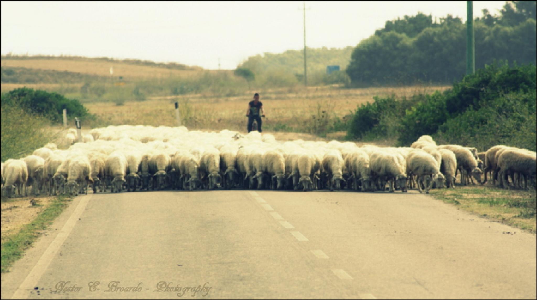 Pecore di Sardegna by nestorbroardo