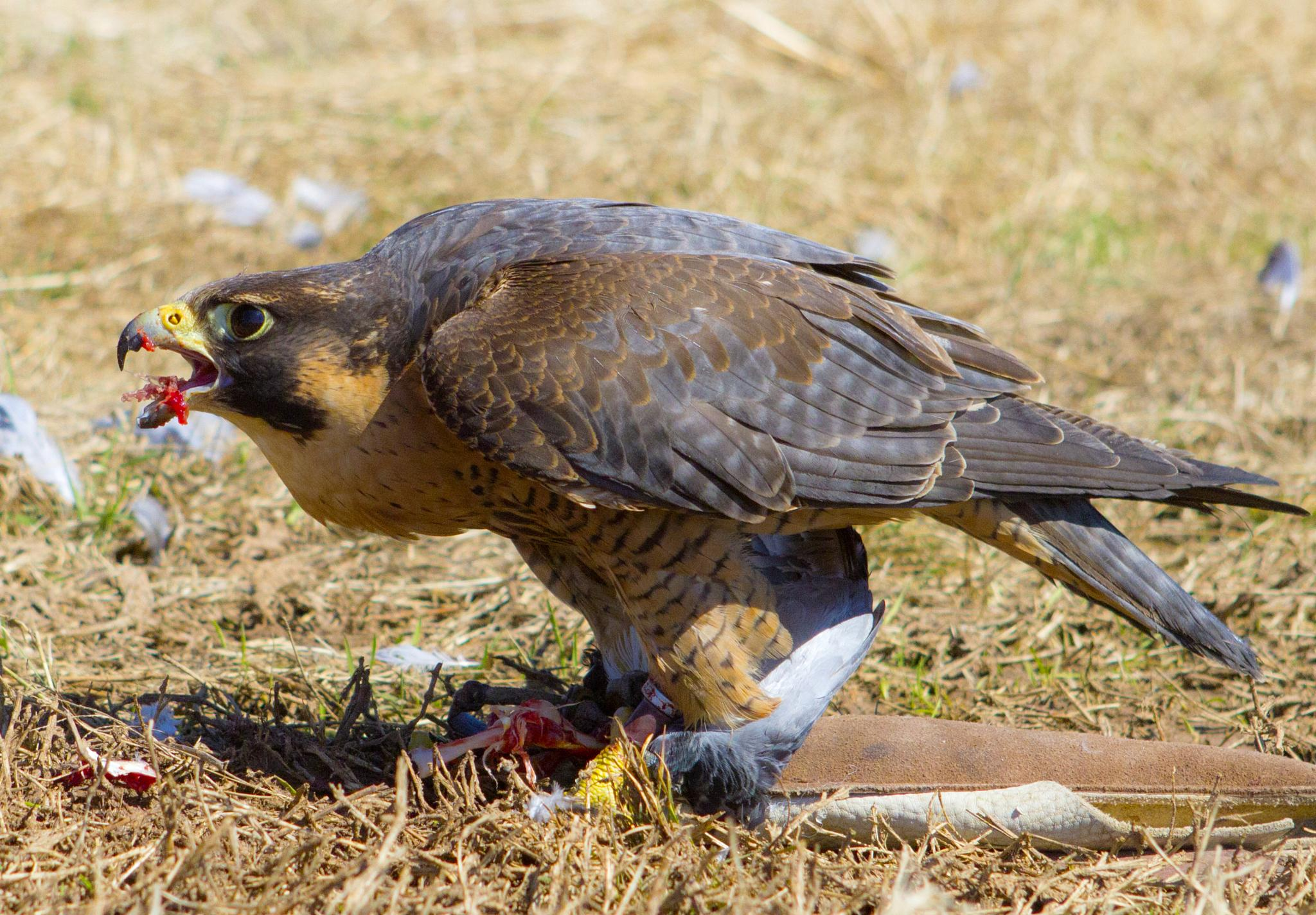 Falcon eating bird dinner by askdrferguson