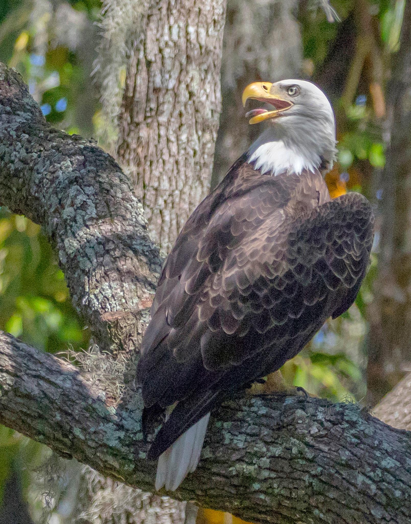 Bald Eagle just finished dinner by askdrferguson