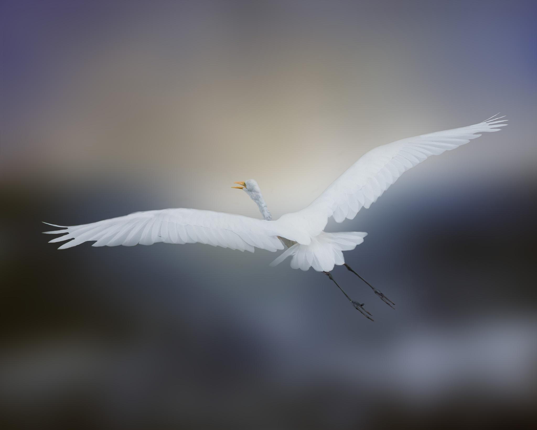 Great Egret in flight by Cherbeni