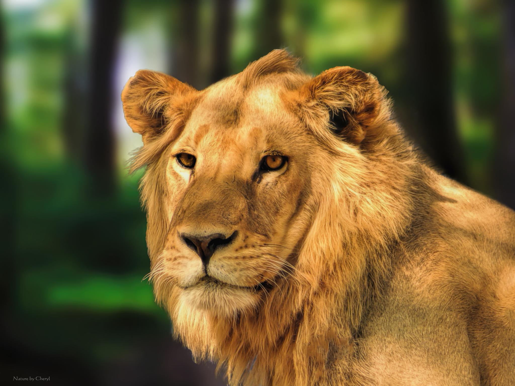 Lion by Cherbeni