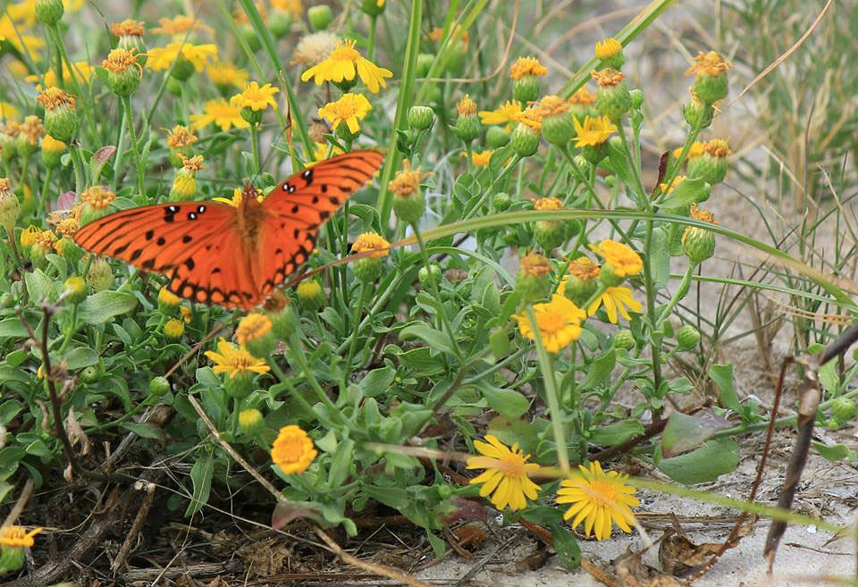 Butterfly on the beach by PennypHall