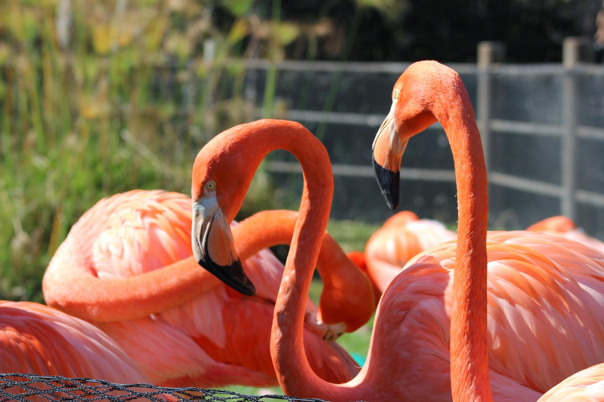 Flamingos by JDGPhotographySD
