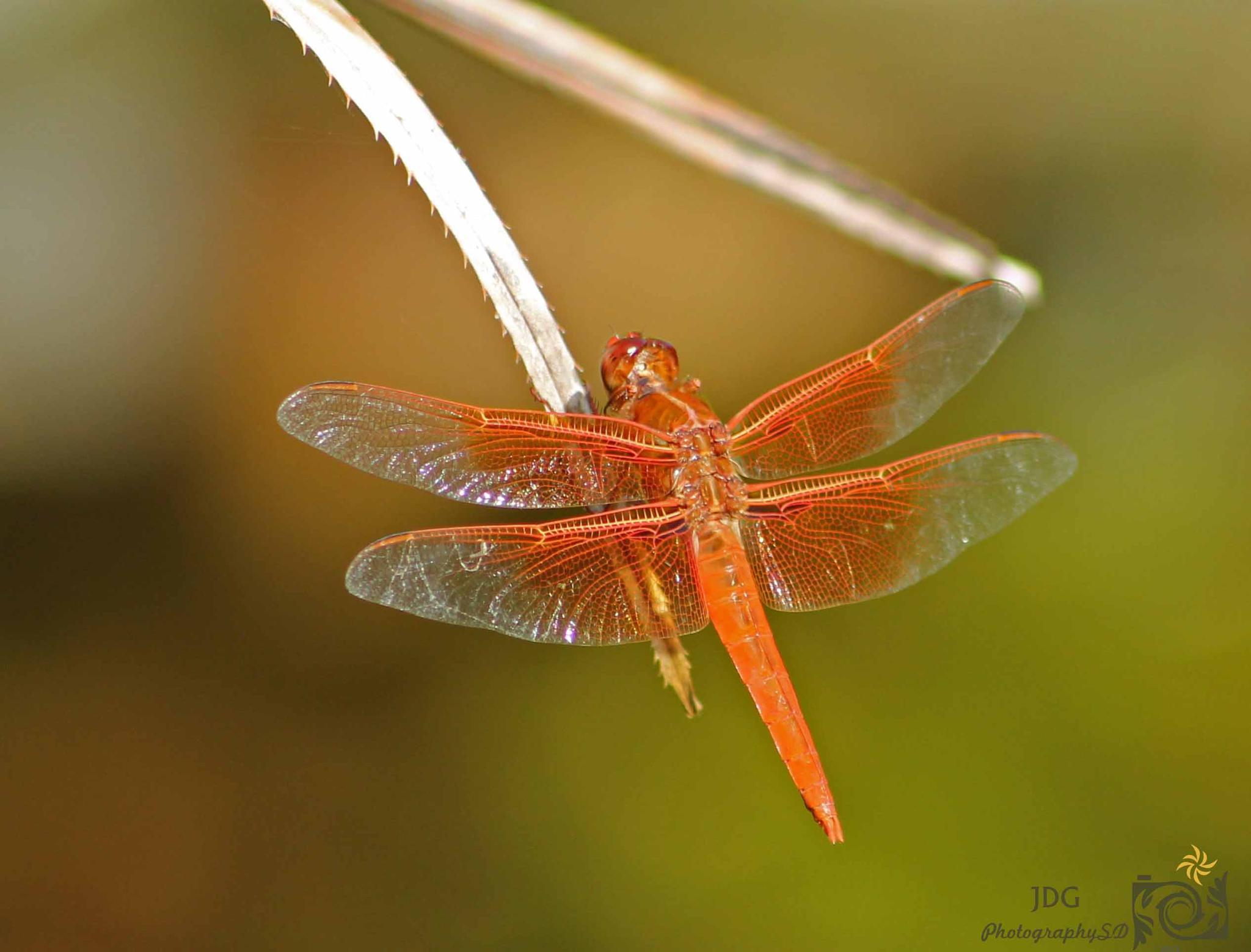 Dragonfly by JDGPhotographySD