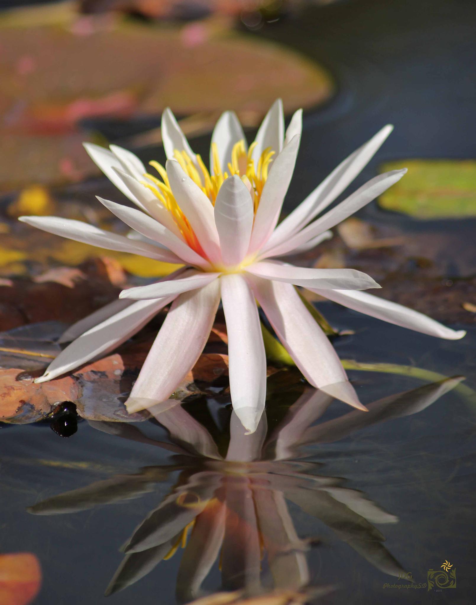 Lily Reflection by JDGPhotographySD
