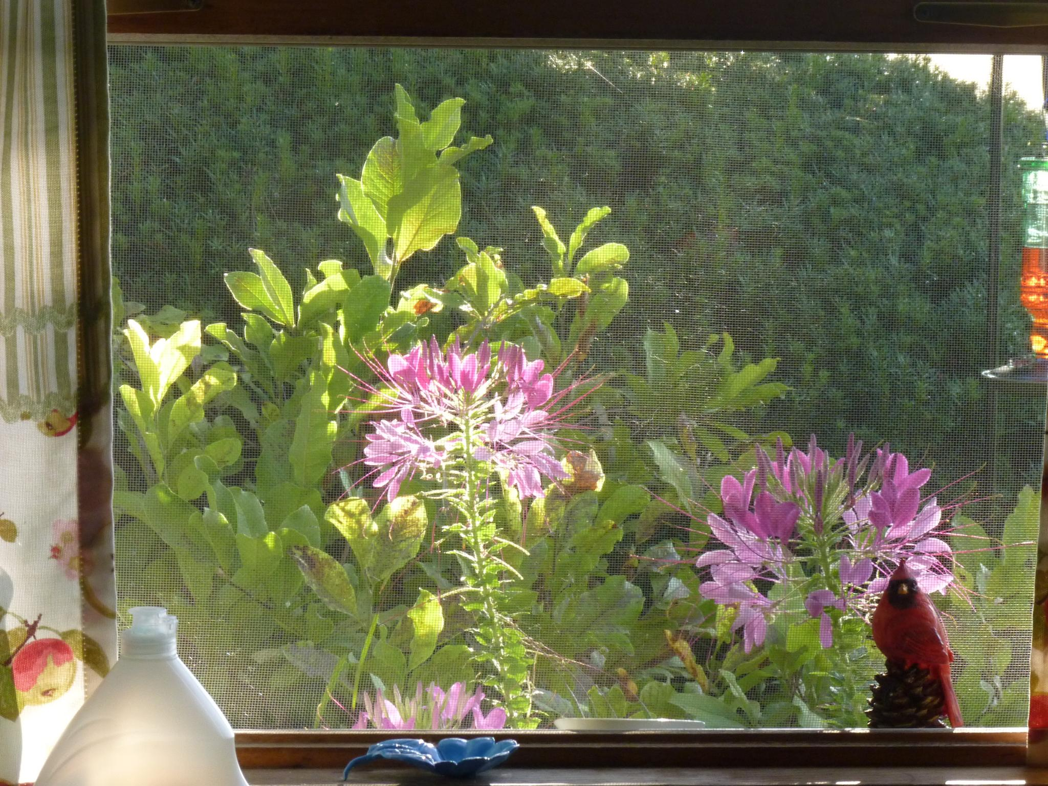 Where Cleome Lives by jeanne.winstead