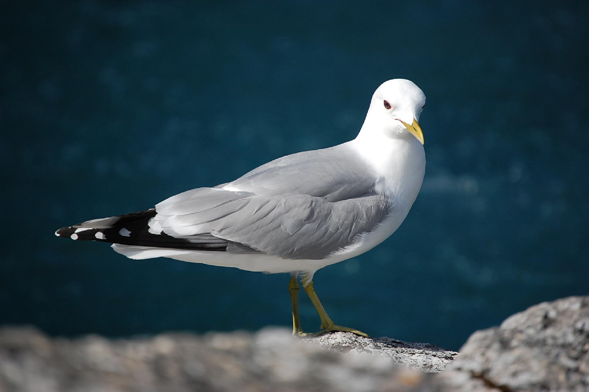 Gommon Gull by kalervotuhkala