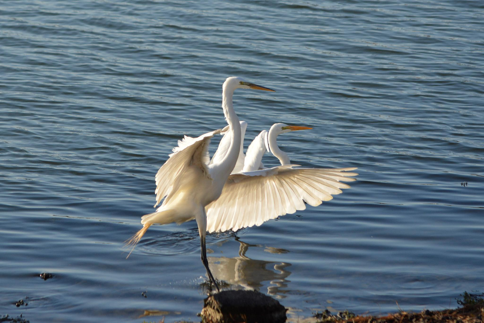 Pair of Egrets by Annie Molyneux