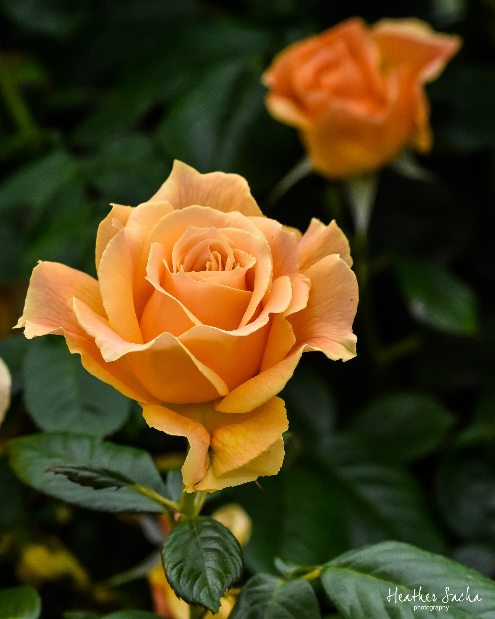 Yellow roses by heather.sacha