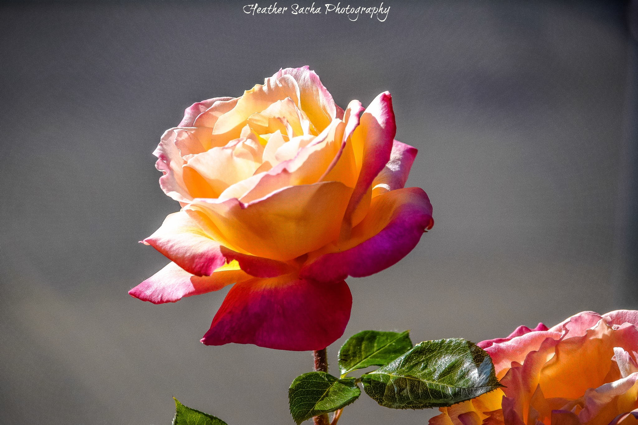 Pink and Yellow Rose by heather.sacha
