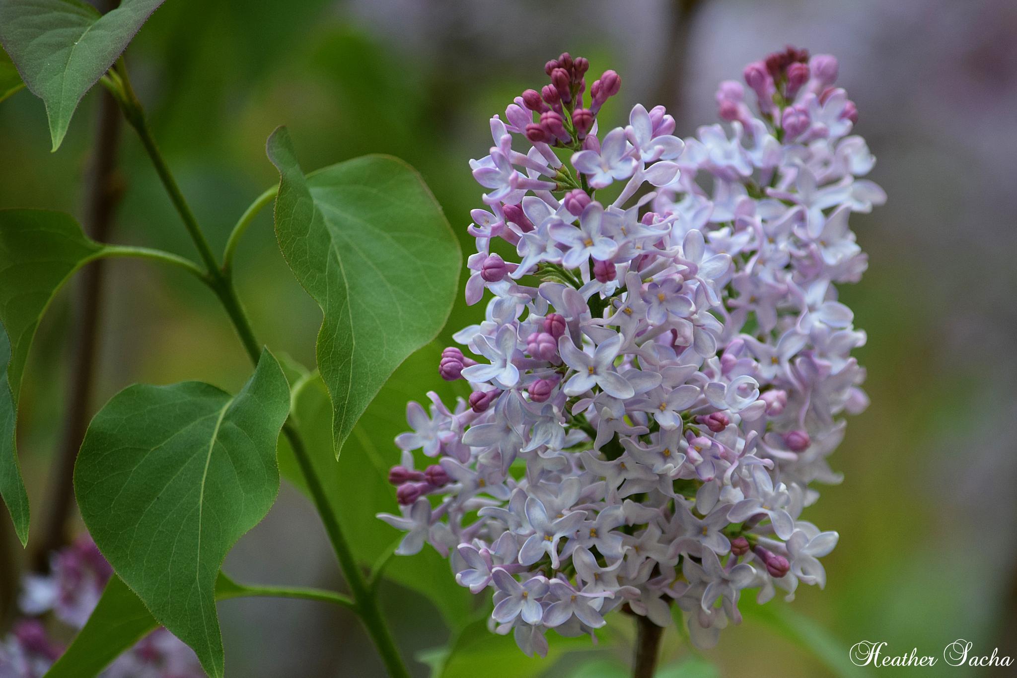 Lilac by heather.sacha