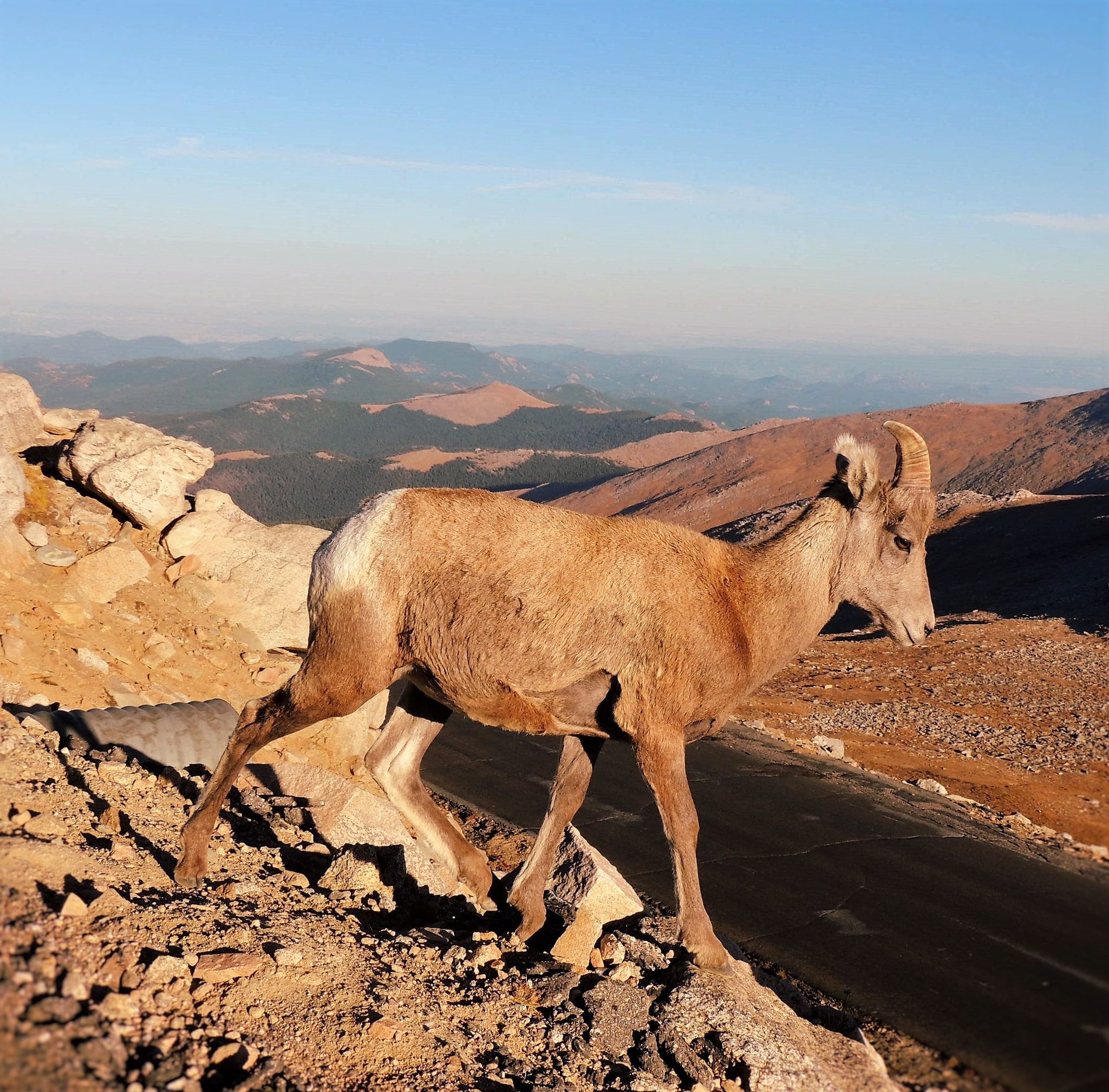 Mountain Goat on a Hill by amfinsilver