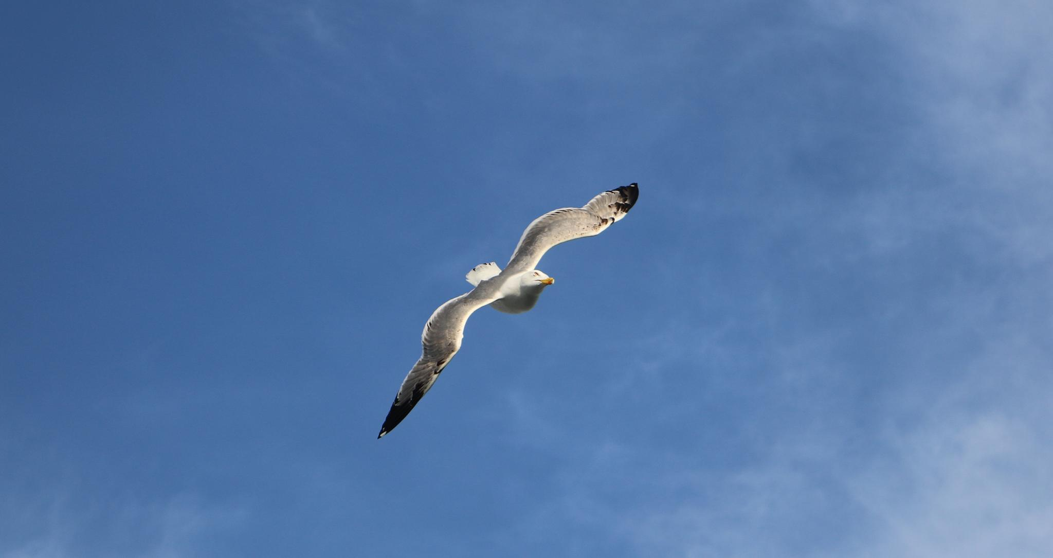 SEAGULL FLIGHING ONERHEAD by ACHILLEAS