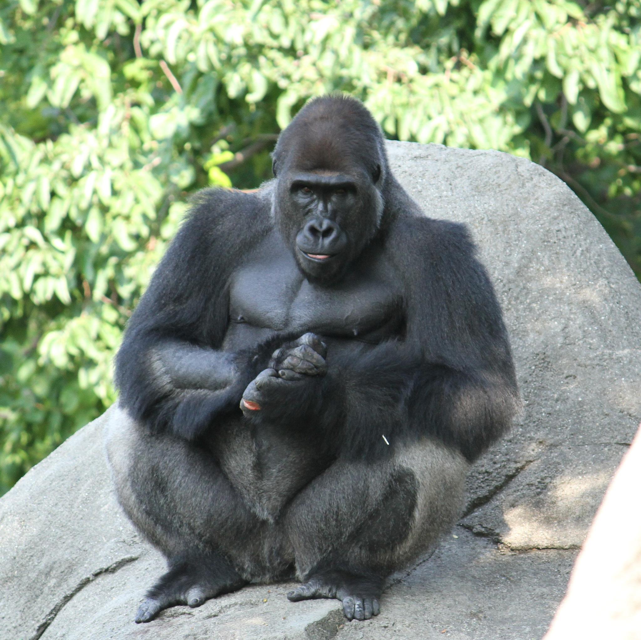Gorilla by Nicole Bixby