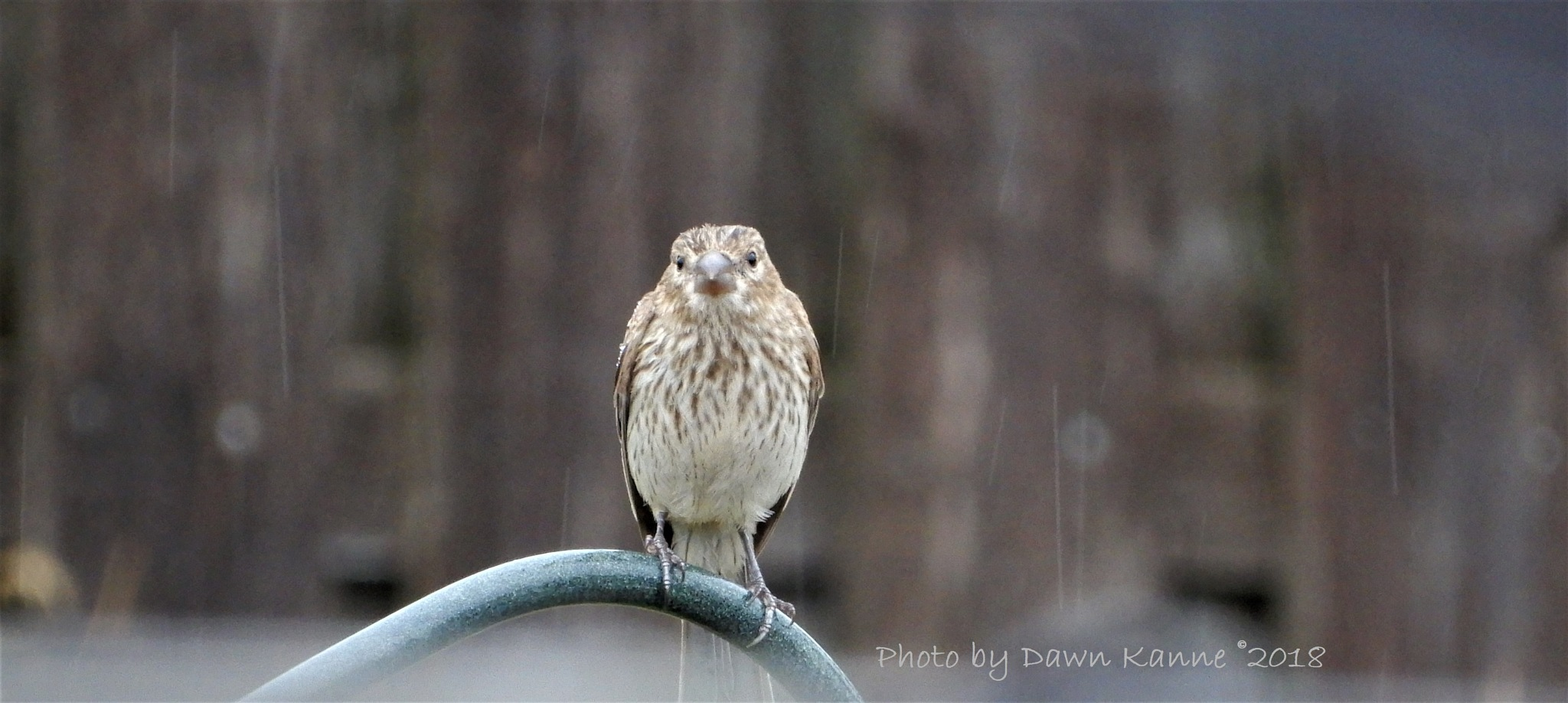 I know my feathers are looking a bit drab today, but I'm still workin it! by Dawn Kanne