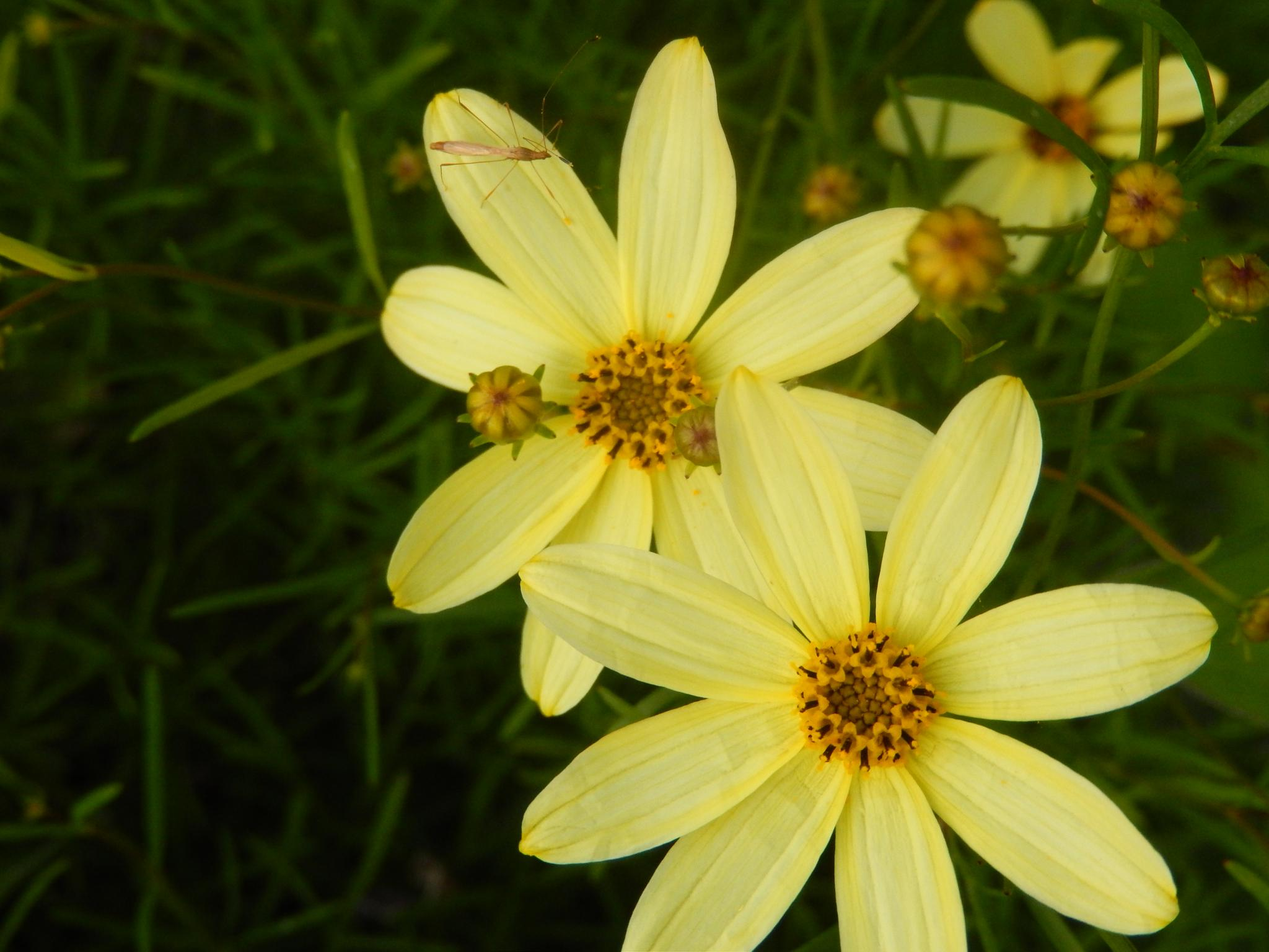 Coreopsis  by Dawn Kanne