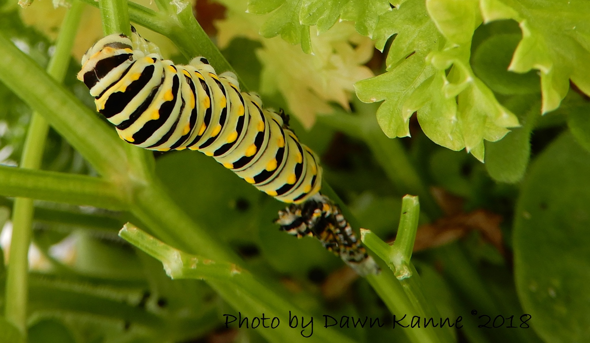 Molting completed for another stage of growth! by Dawn Kanne