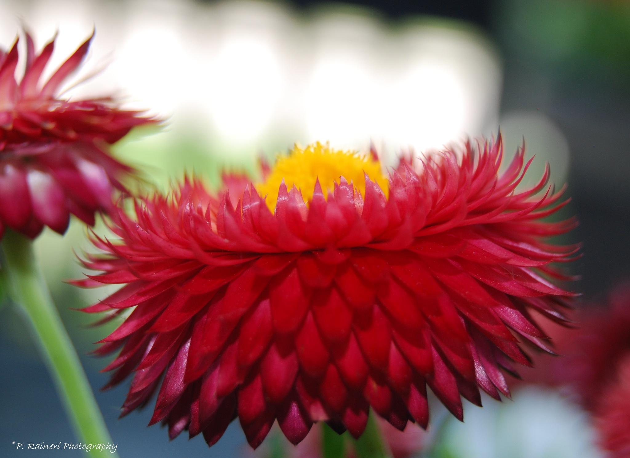 Strawflower by pamela.raineri.1