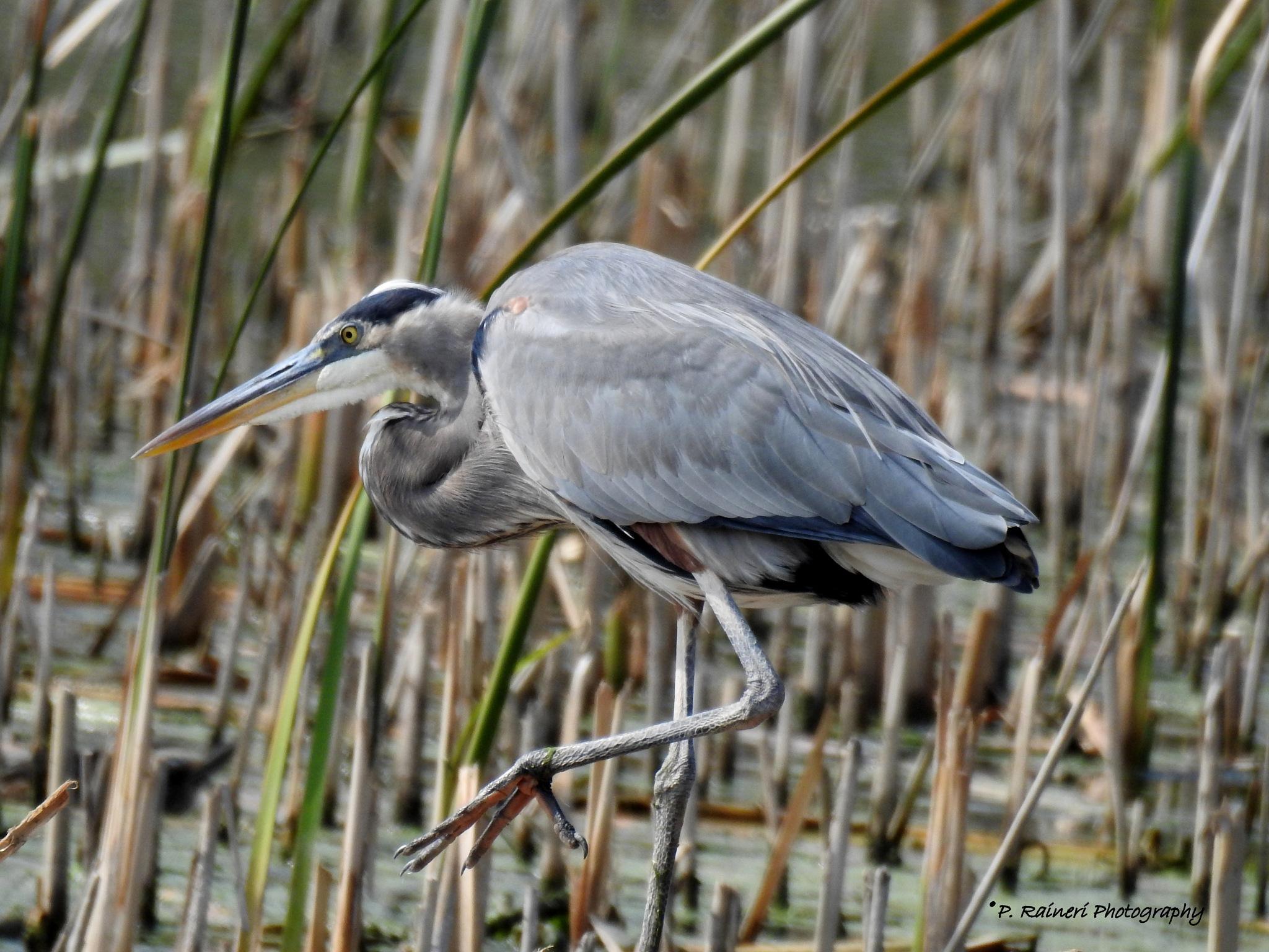 Great Blue Heron by pamela.raineri.1