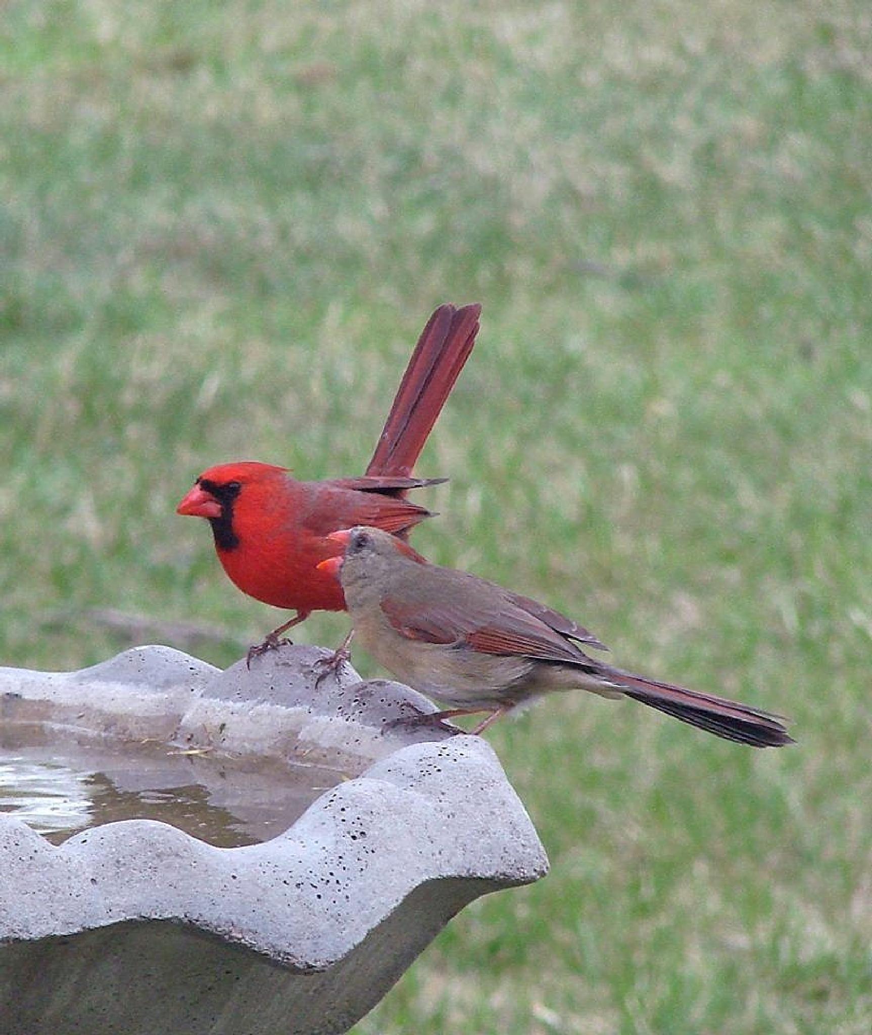 Male & Female Cardinals by pamela.raineri.1