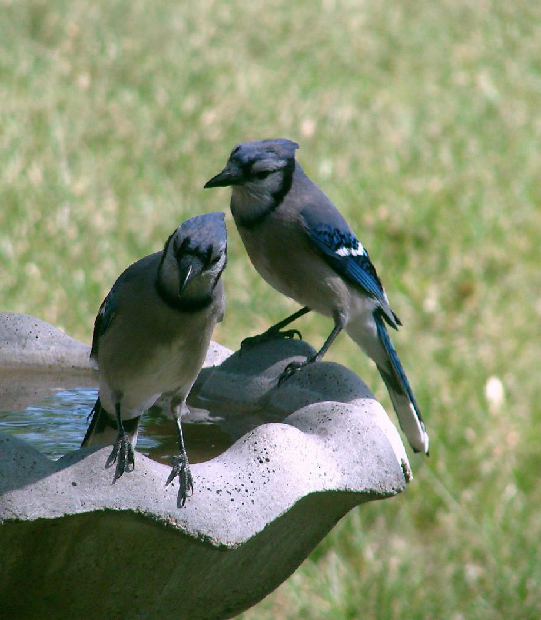 Bluejays by pamela.raineri.1